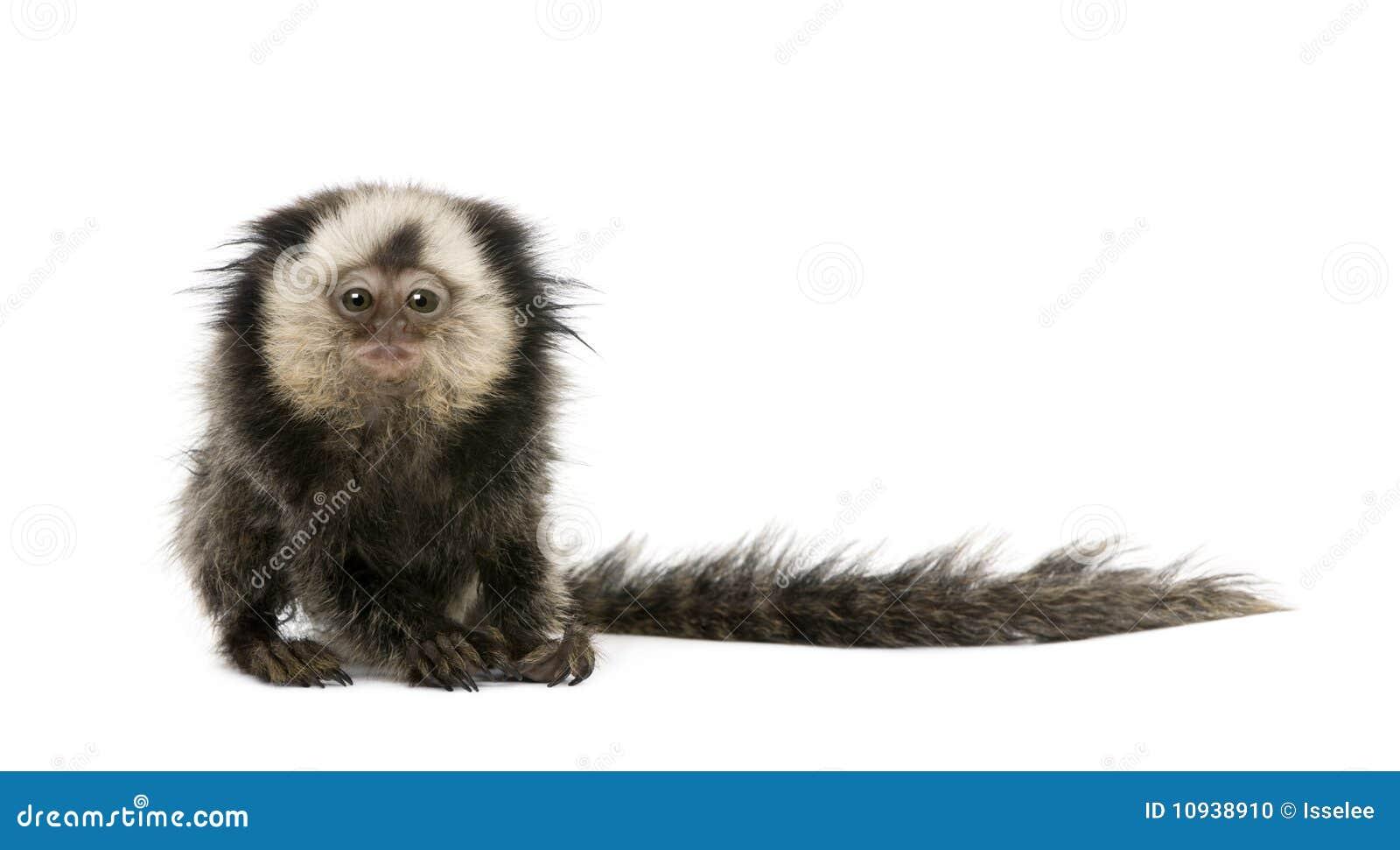 против возглавленной предпосылки белизна marmoset