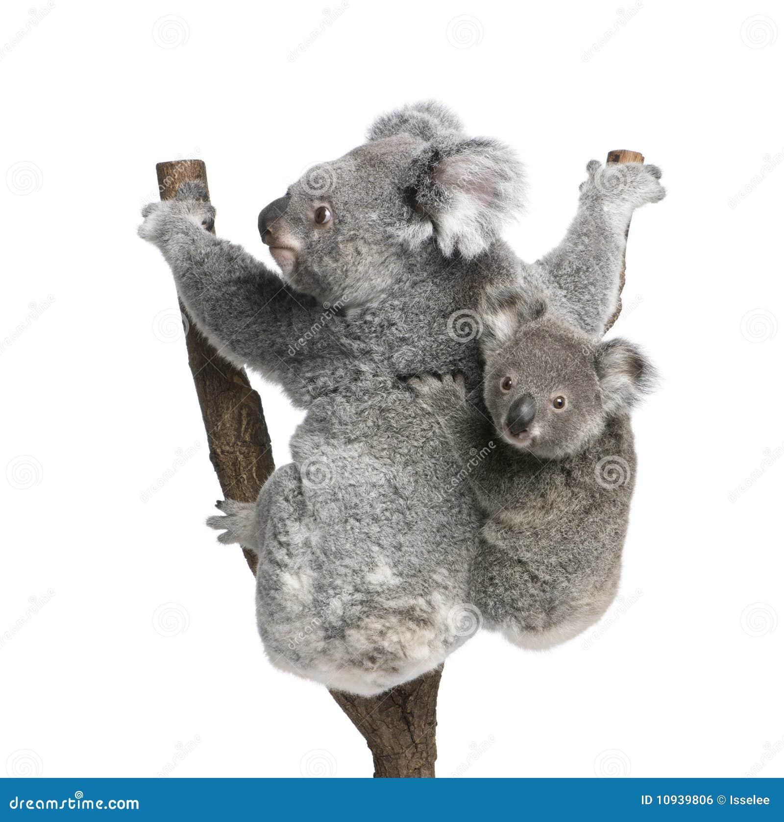 против предпосылки носит взобраться белизна вала koala