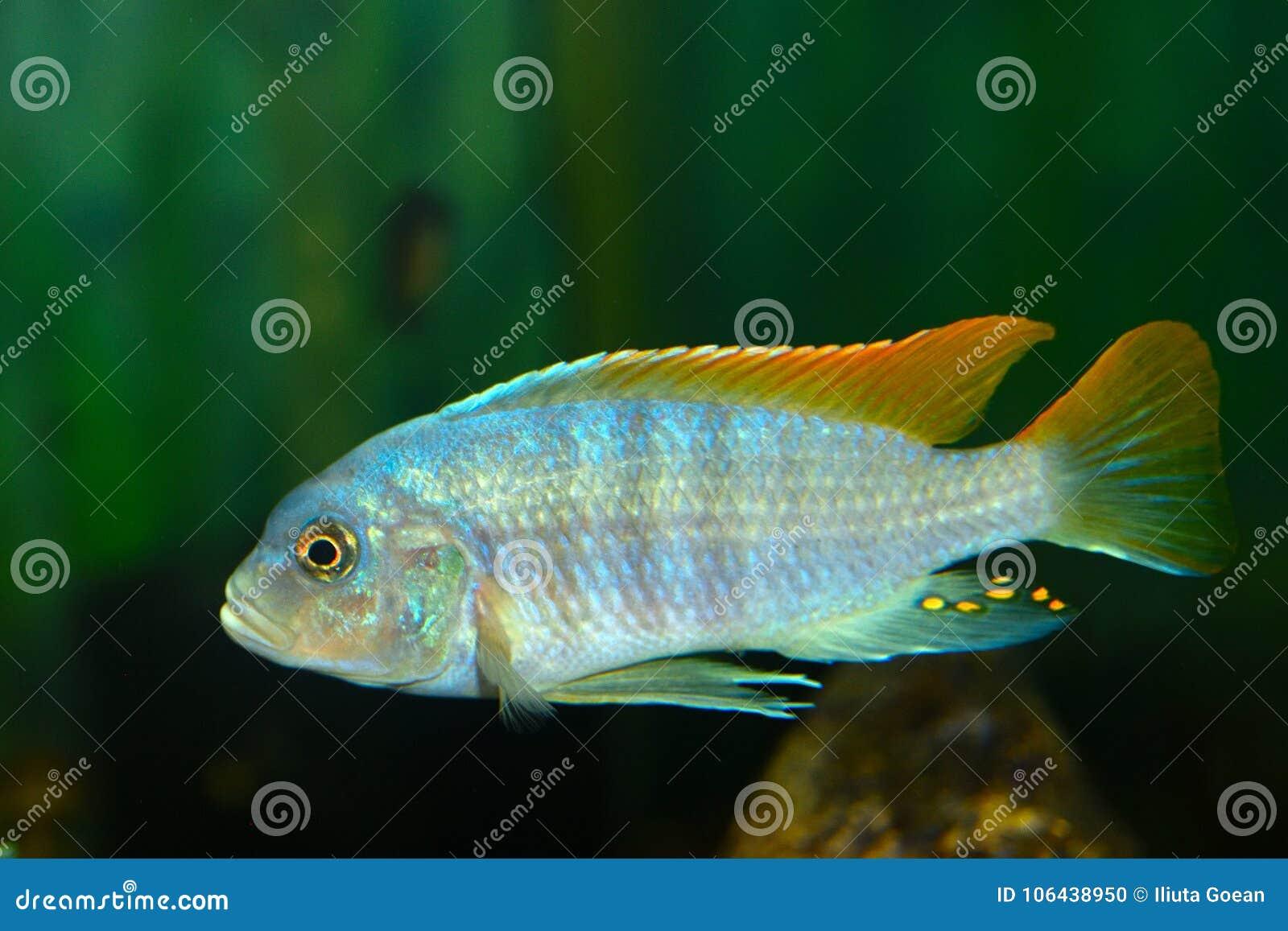 Протокол доступа к хост-машине глубоководья & x28; Electra& x29 Placidochromis; Рыбы аквариума