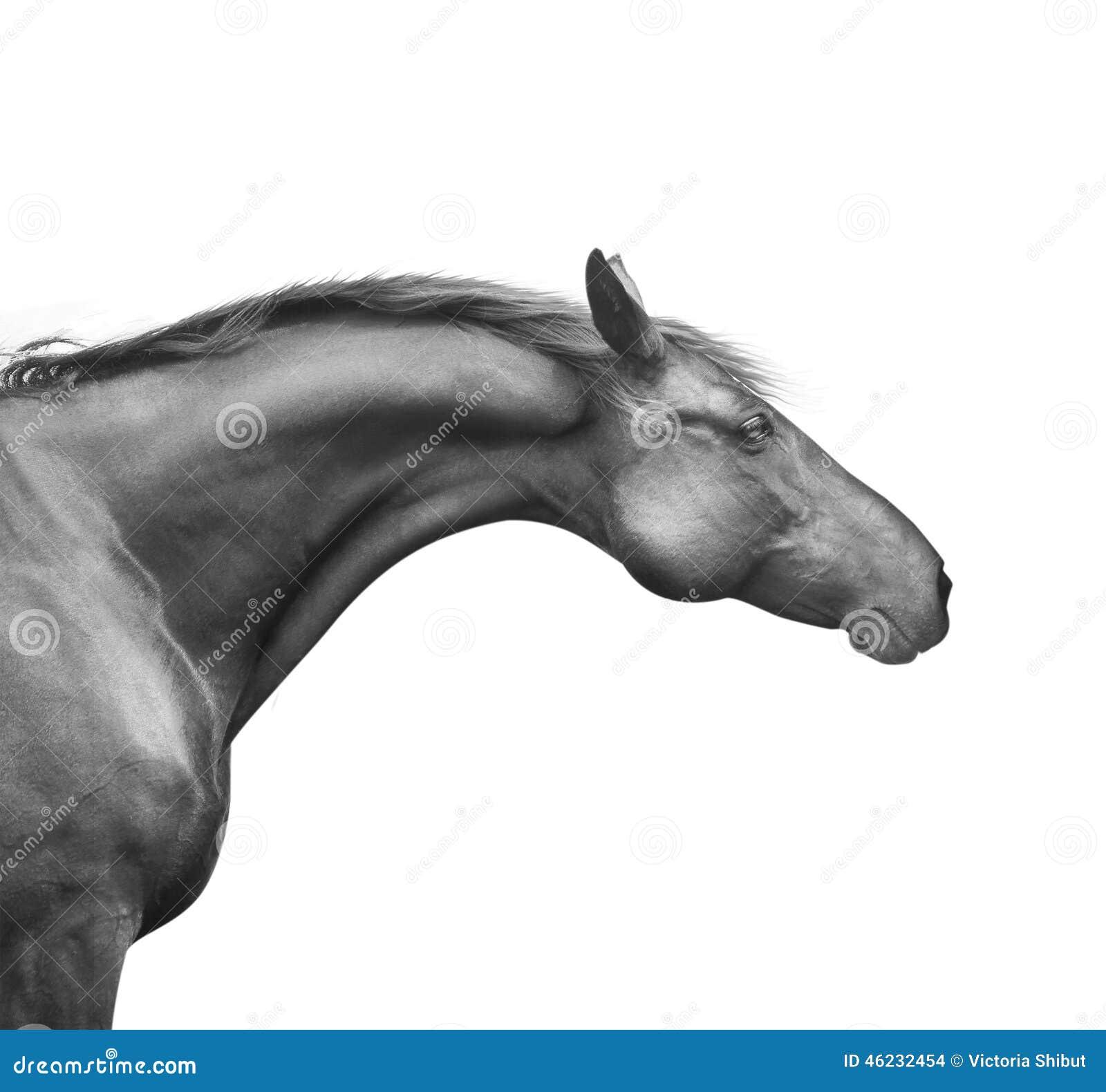 Профилируйте портрет черной лошади с хорошими шеей и головой, изолированный на белизне