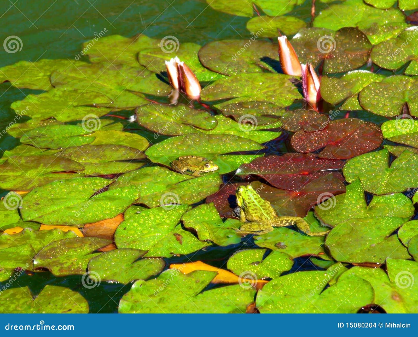пруд лягушек