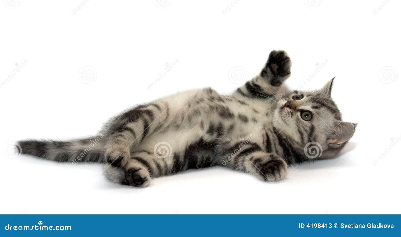 прямая котов шотландская