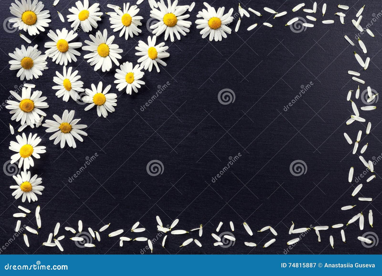 Прямоугольная рамка белых маргариток на черной предпосылке Цветочный узор при космос экземпляра положенный плоско Цветет взгляд с