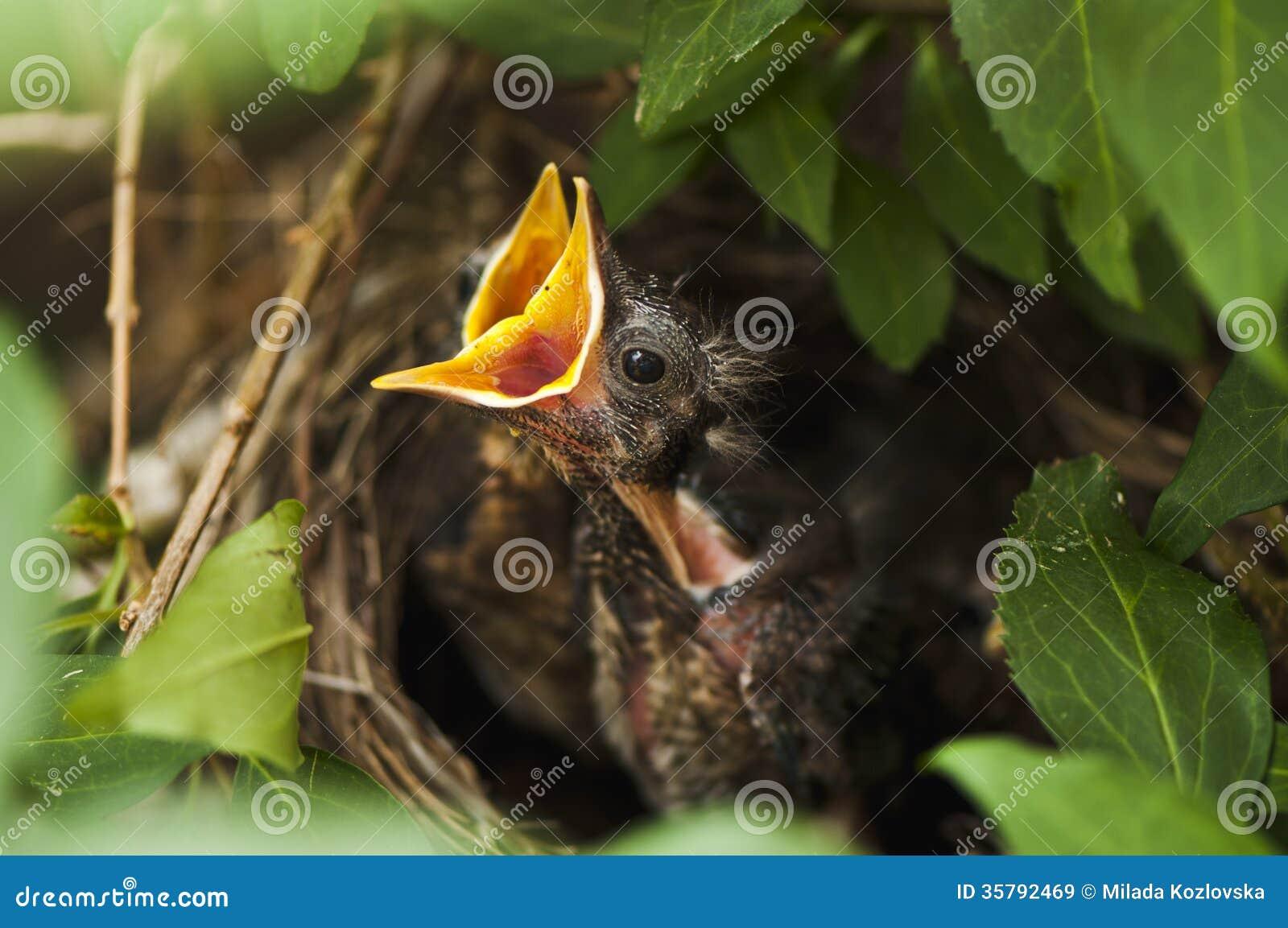 Птенецы кукушкы