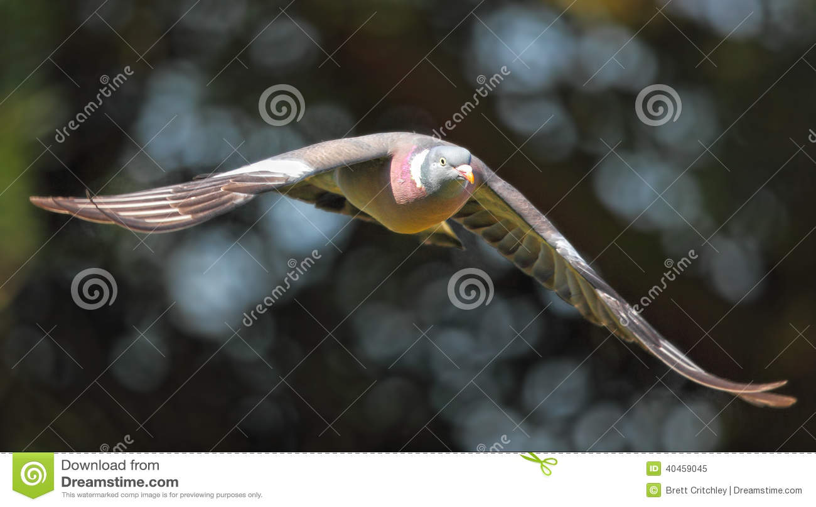 Птица голубя в полете