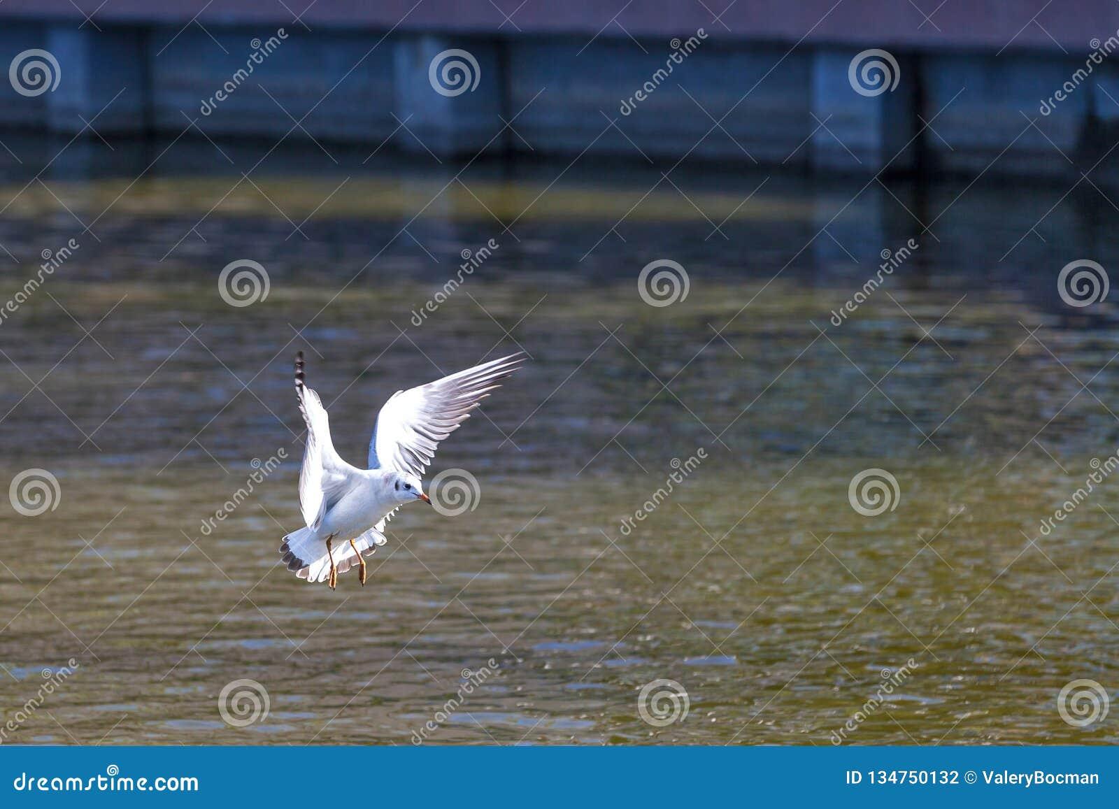 Птица на озере лебед, Астрахани, России