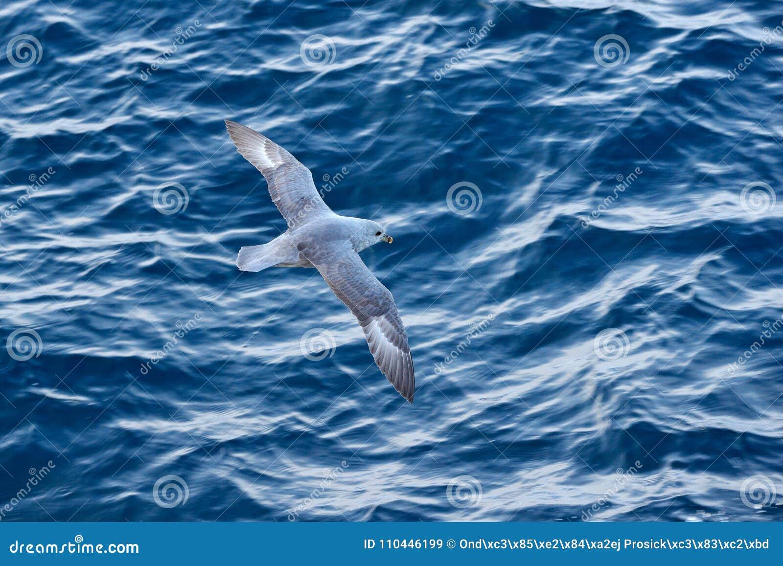 Птица океана Птица с голубым океаном Северный глупыш, glacialis Fulmarus, белая птица, открытое море, синий лед на заднем плане,