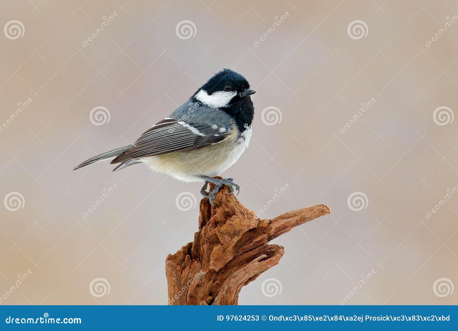 Портрет красивые яркие мало птица синица сидя ветке парке весной.