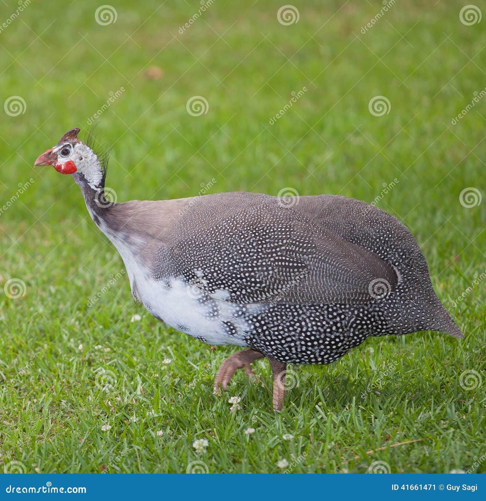 птица уродская
