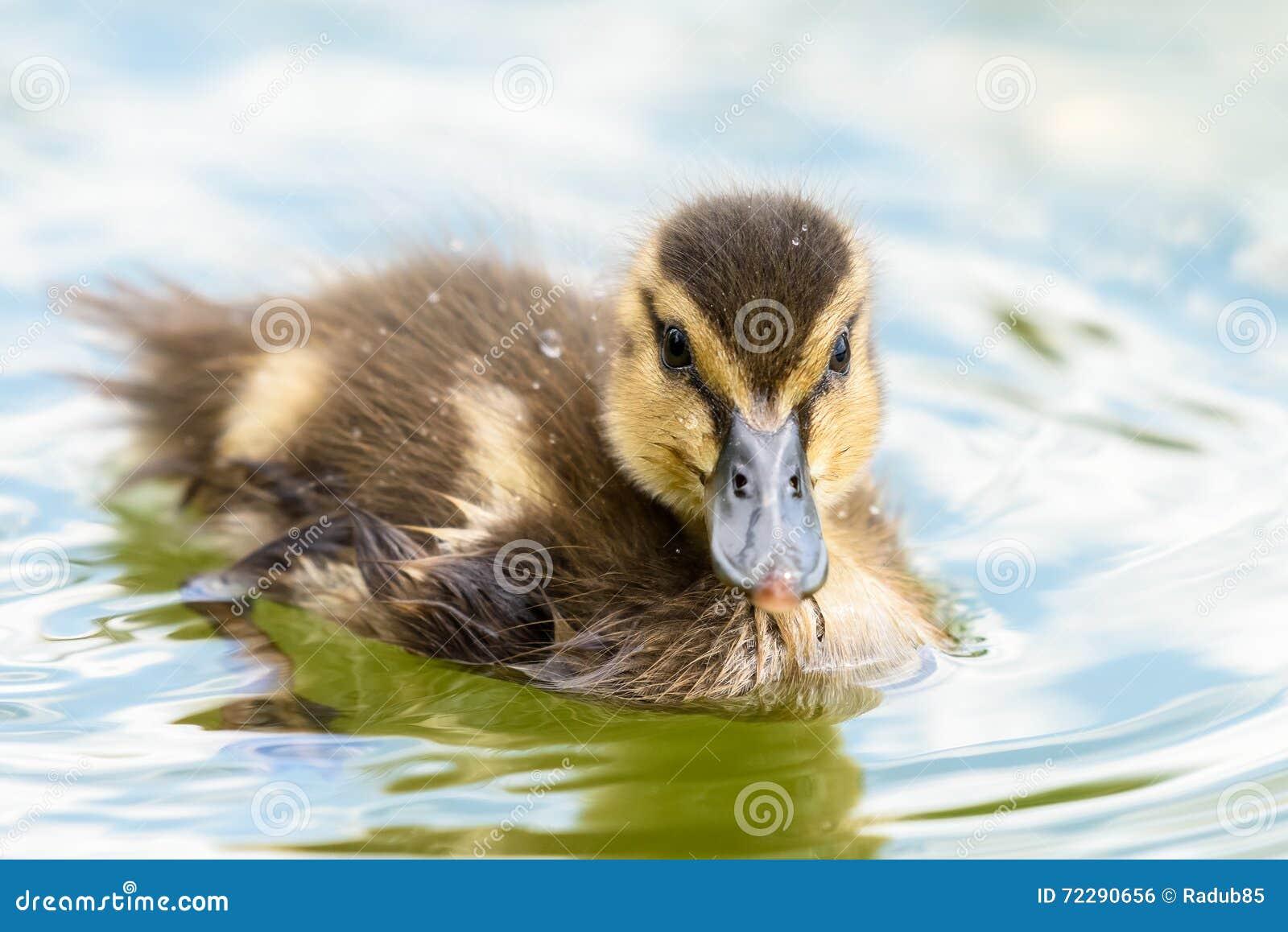 Download Птица утки младенца стоковое фото. изображение насчитывающей природа - 72290656