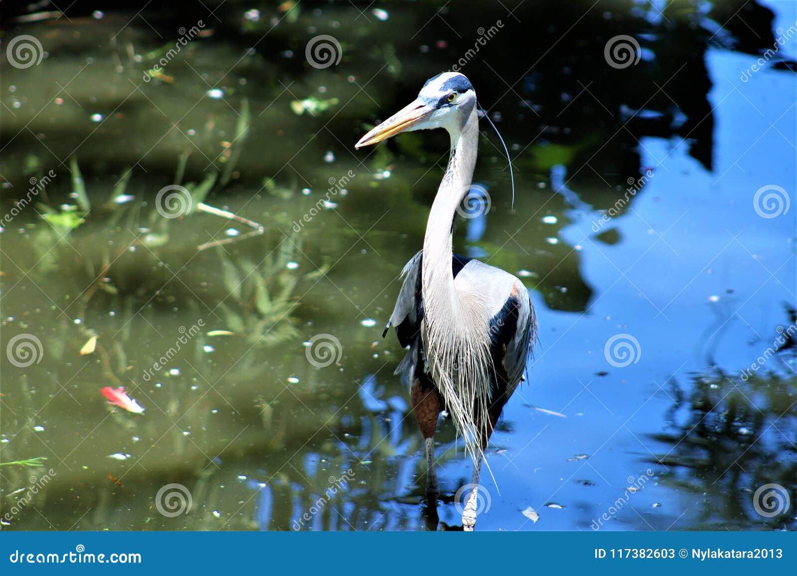 Птица цапли большой сини большая Wading