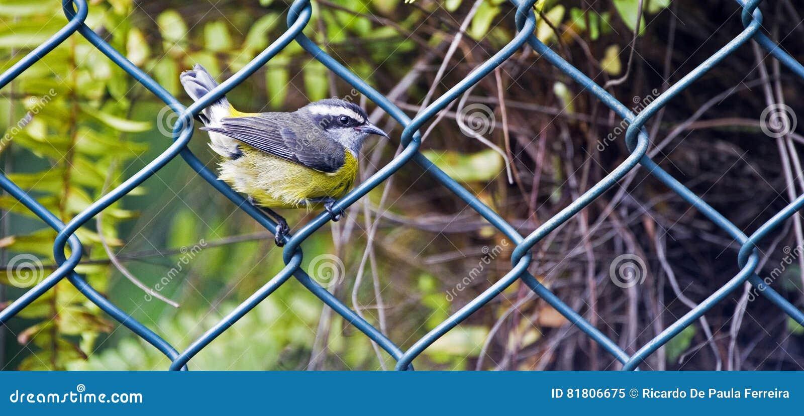 Птица Bananaquit садить на насест на решетке загородки