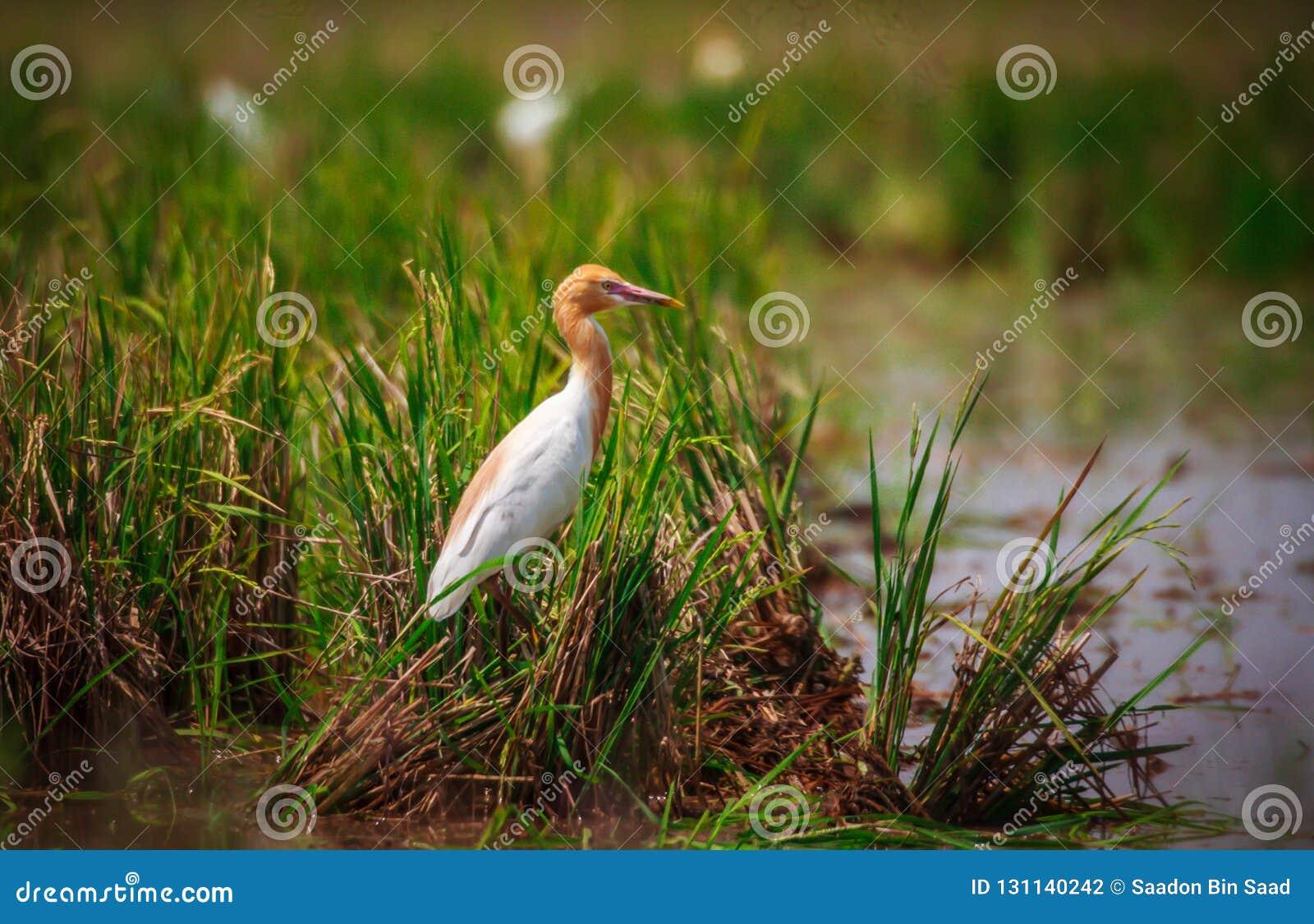 птица egret скотин
