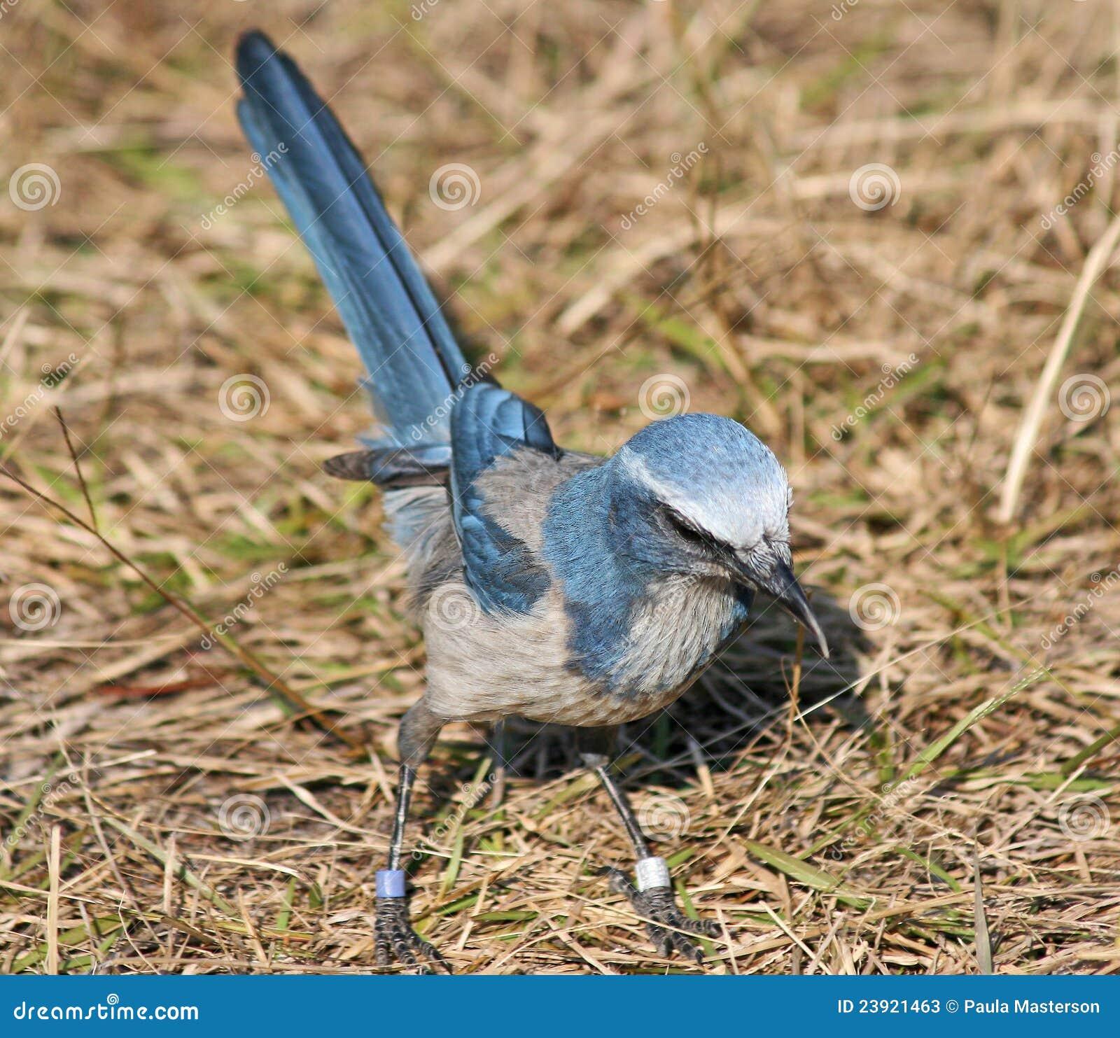 птица florida jay scrub