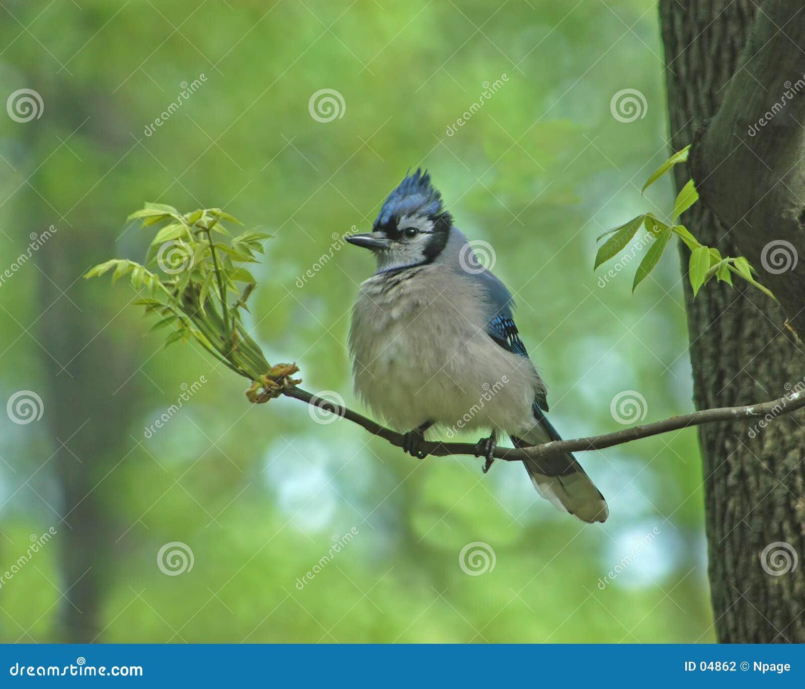 птица jay