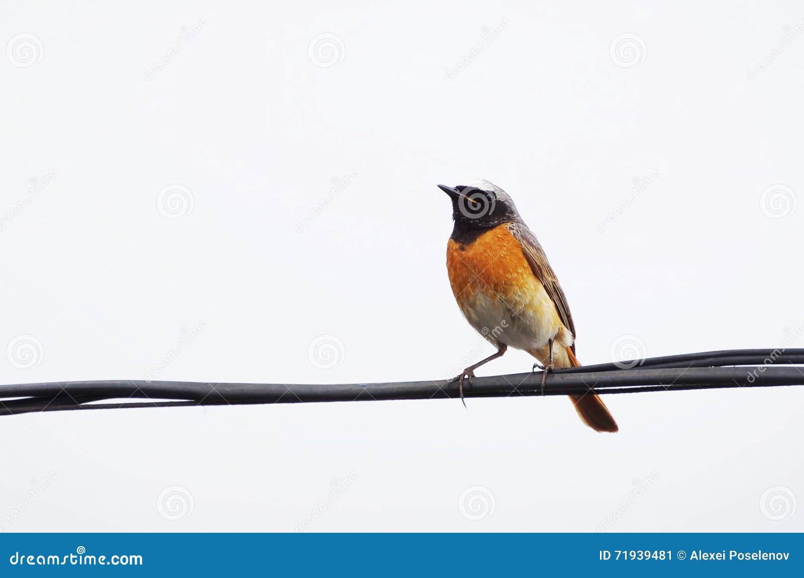 Птица Redstart на проводе