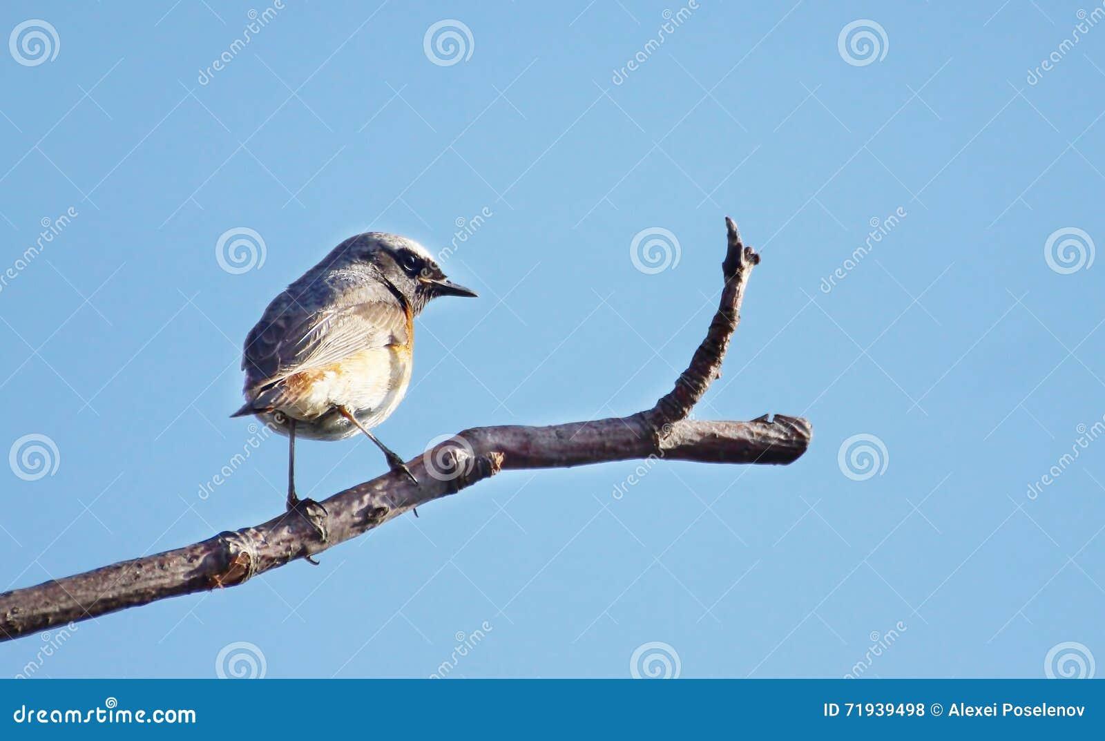 Птица Redstart сидя на суке