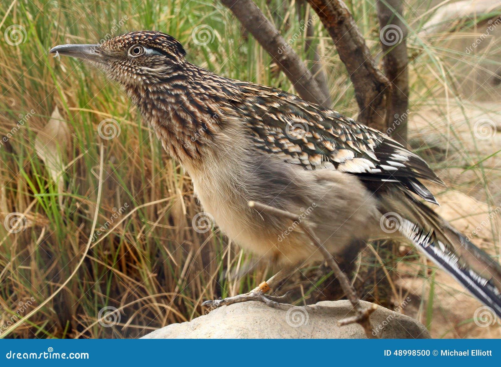 Птица Roadrunner