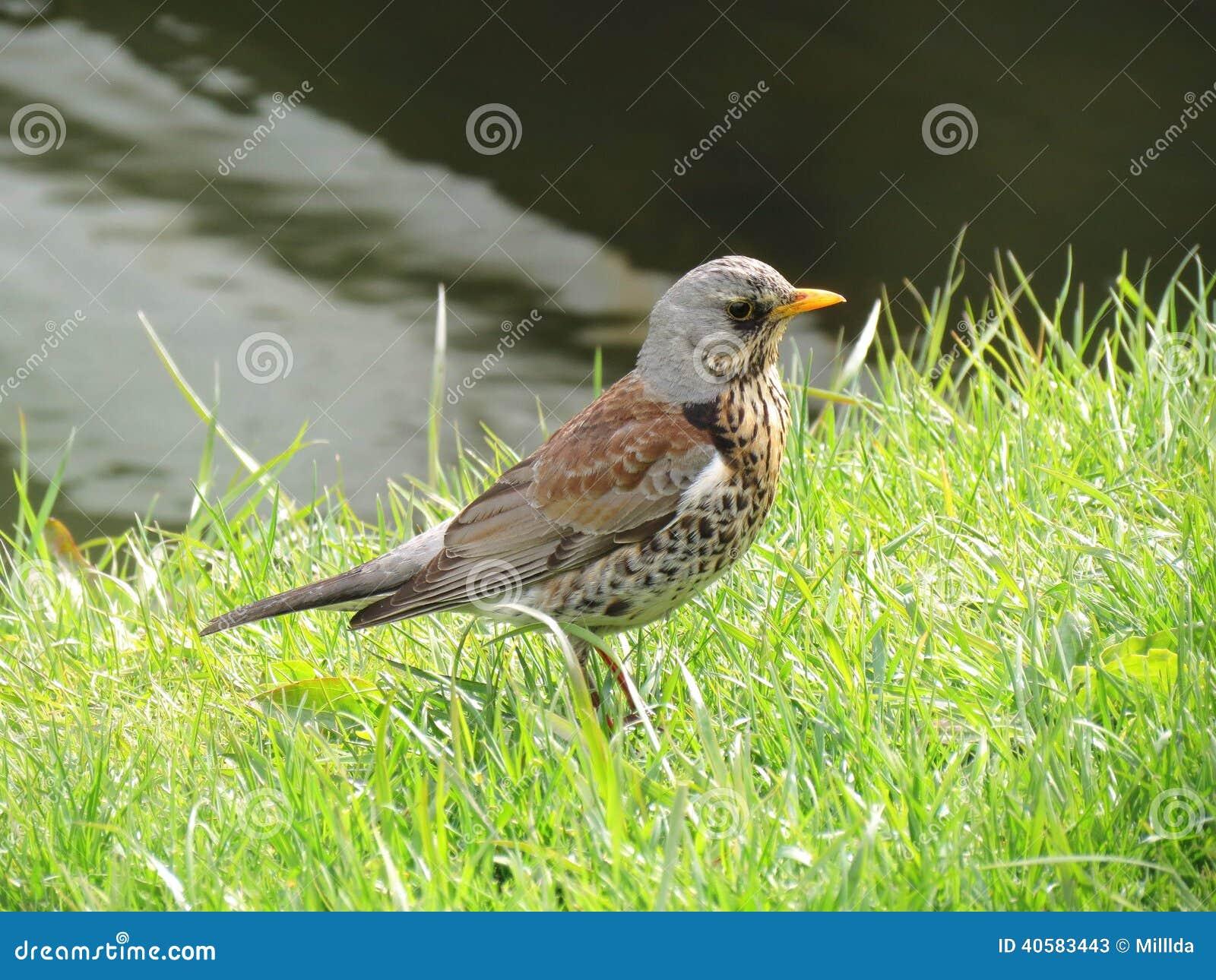 Птица Turdus