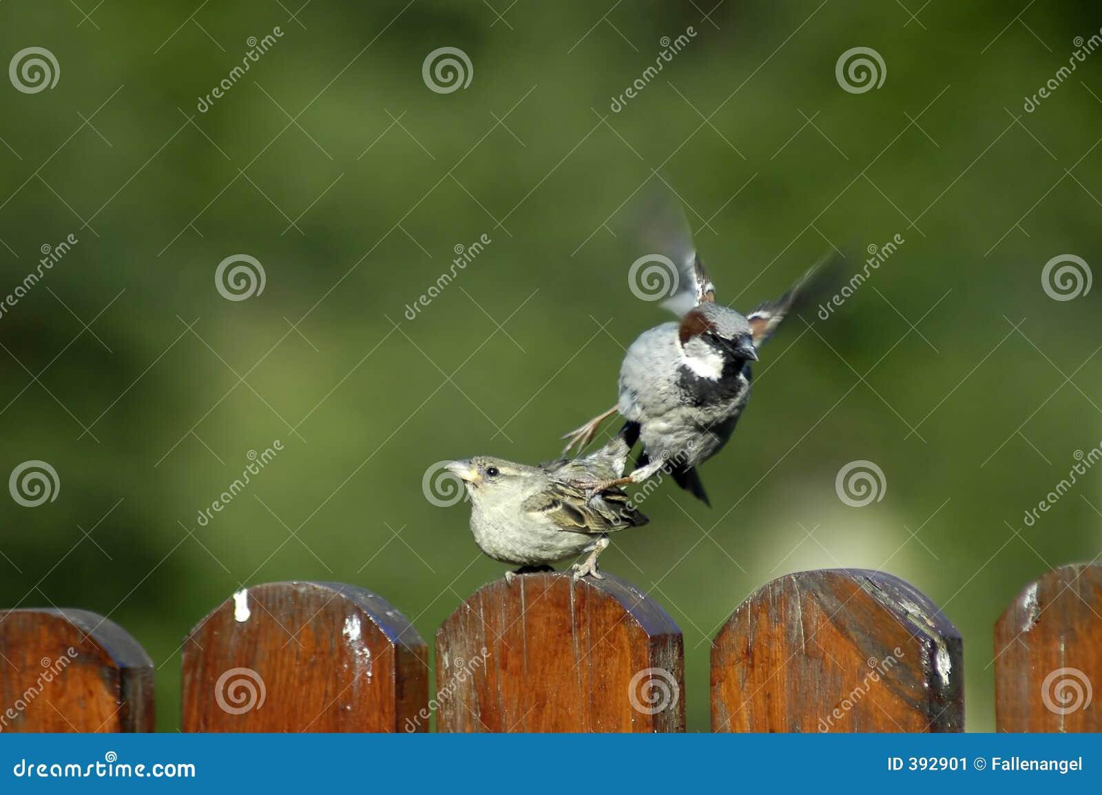 Секс у птицы