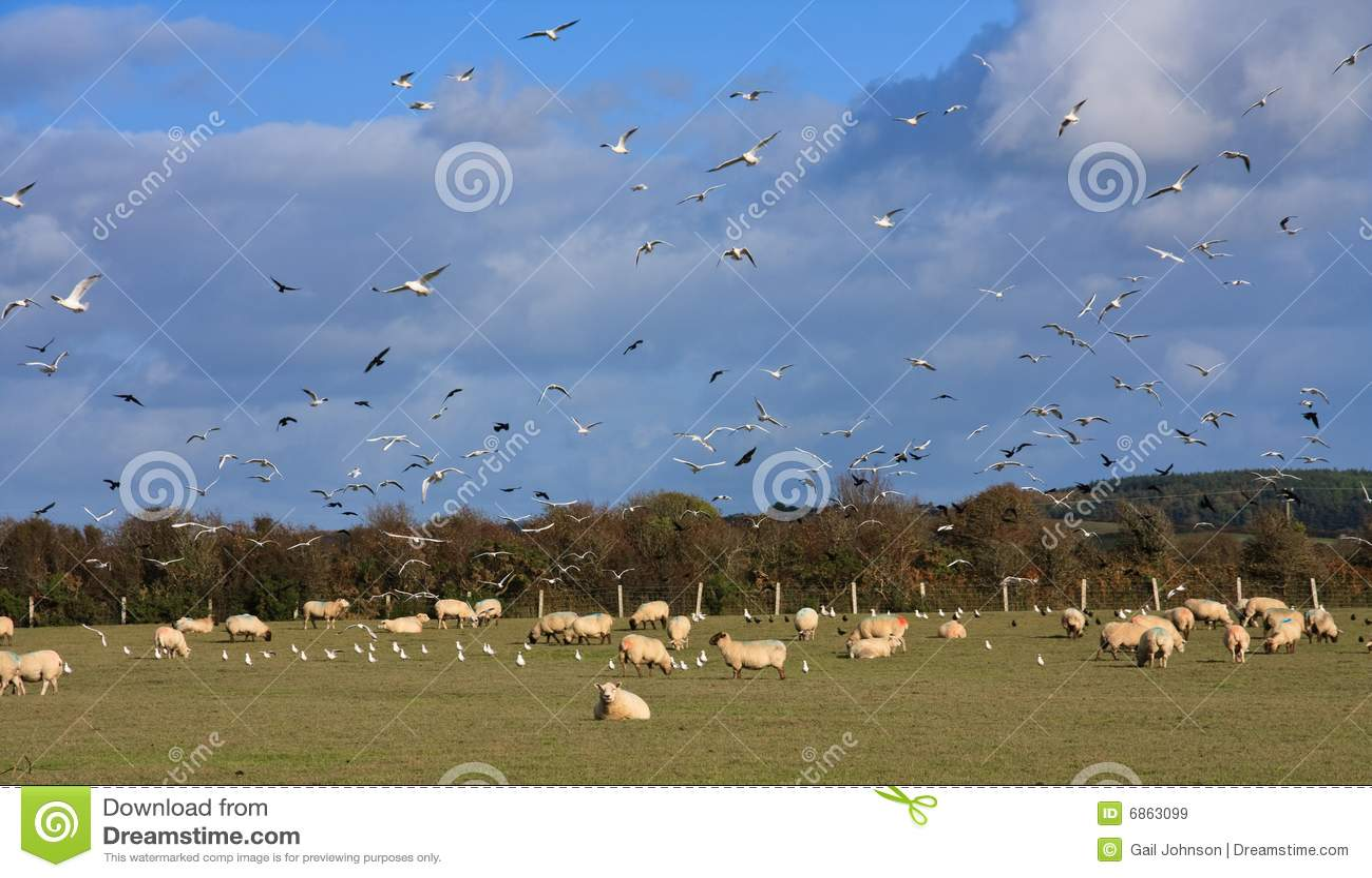 птицы field полные овцы