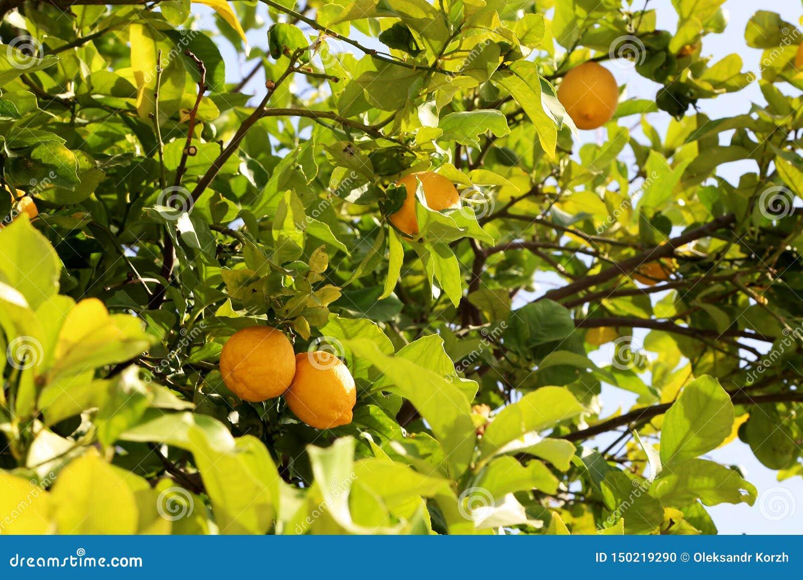Пуки свежих желтых зрелых лимонов на дереве лимона