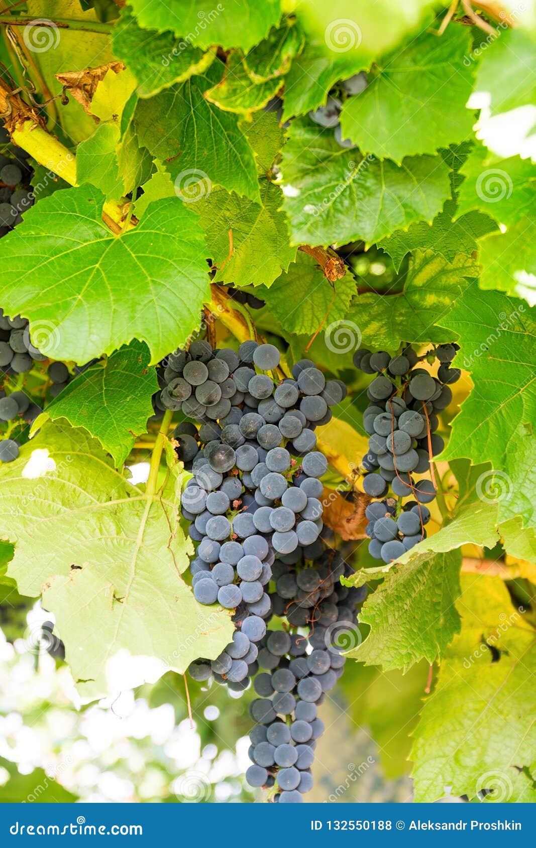 Пук виноградин сирени в винограднике