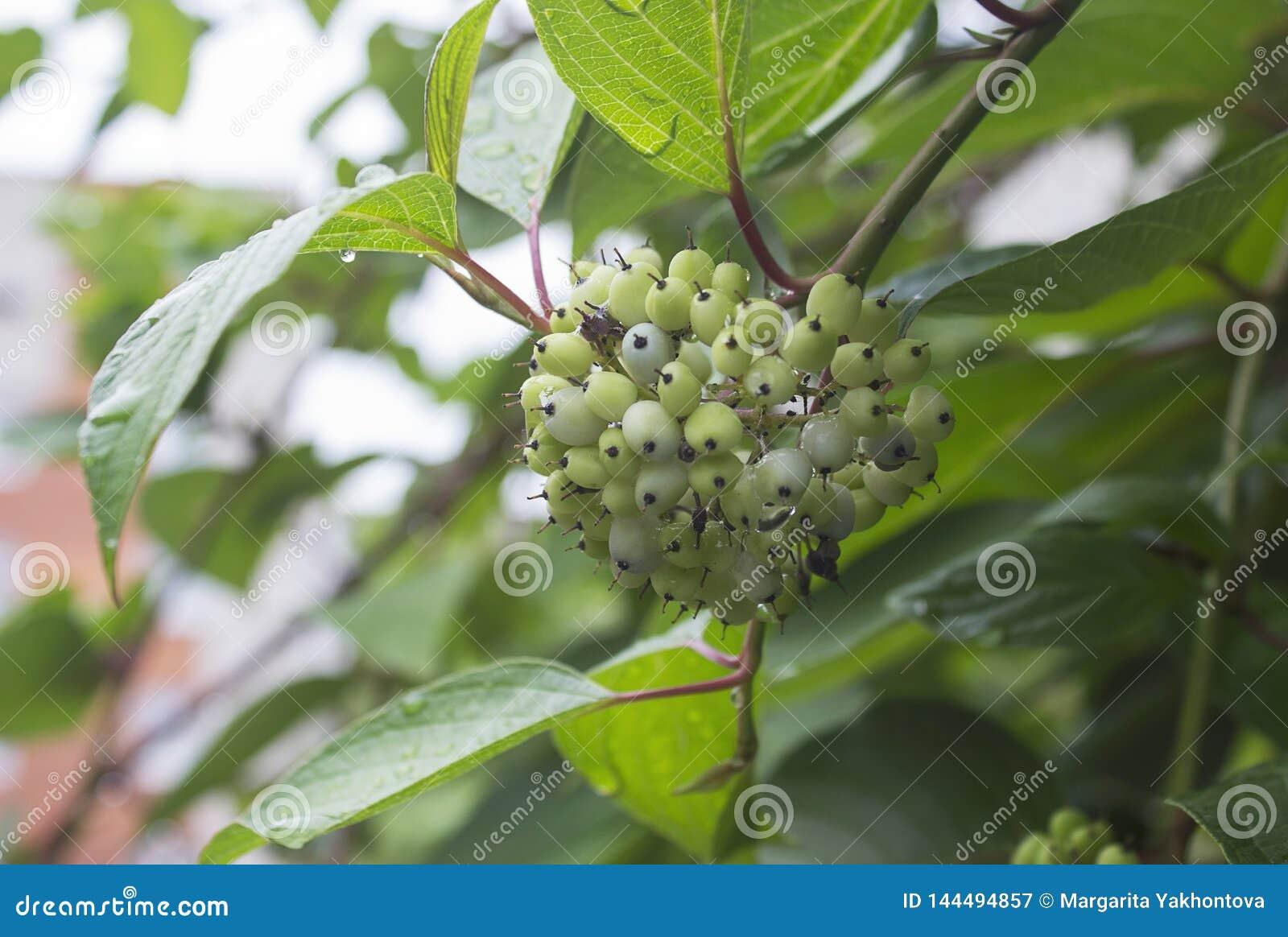 Пук зеленых ягод после дождя