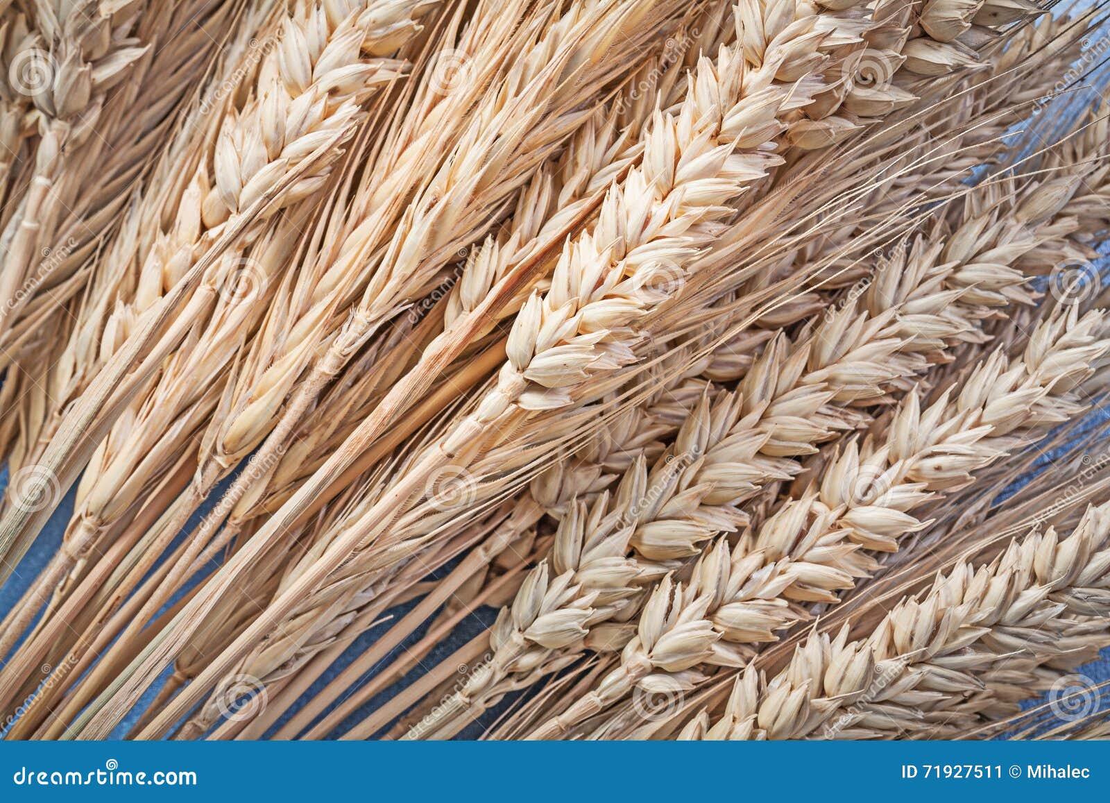 Пук золотых ушей пшениц-рож на голубом конце предпосылки вверх по взгляду
