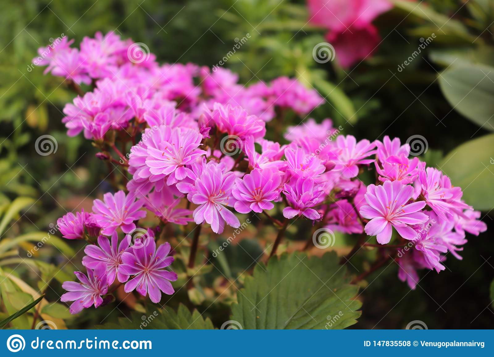 Пук маленьких пурпурных цветков