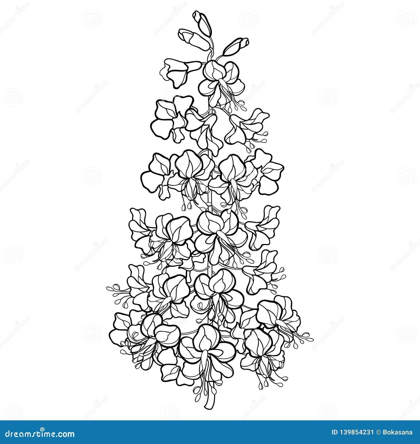 Пук цветка конского каштана или конского каштана или Aesculus плана вектора в черноте изолированный на белой предпосылке blossomi