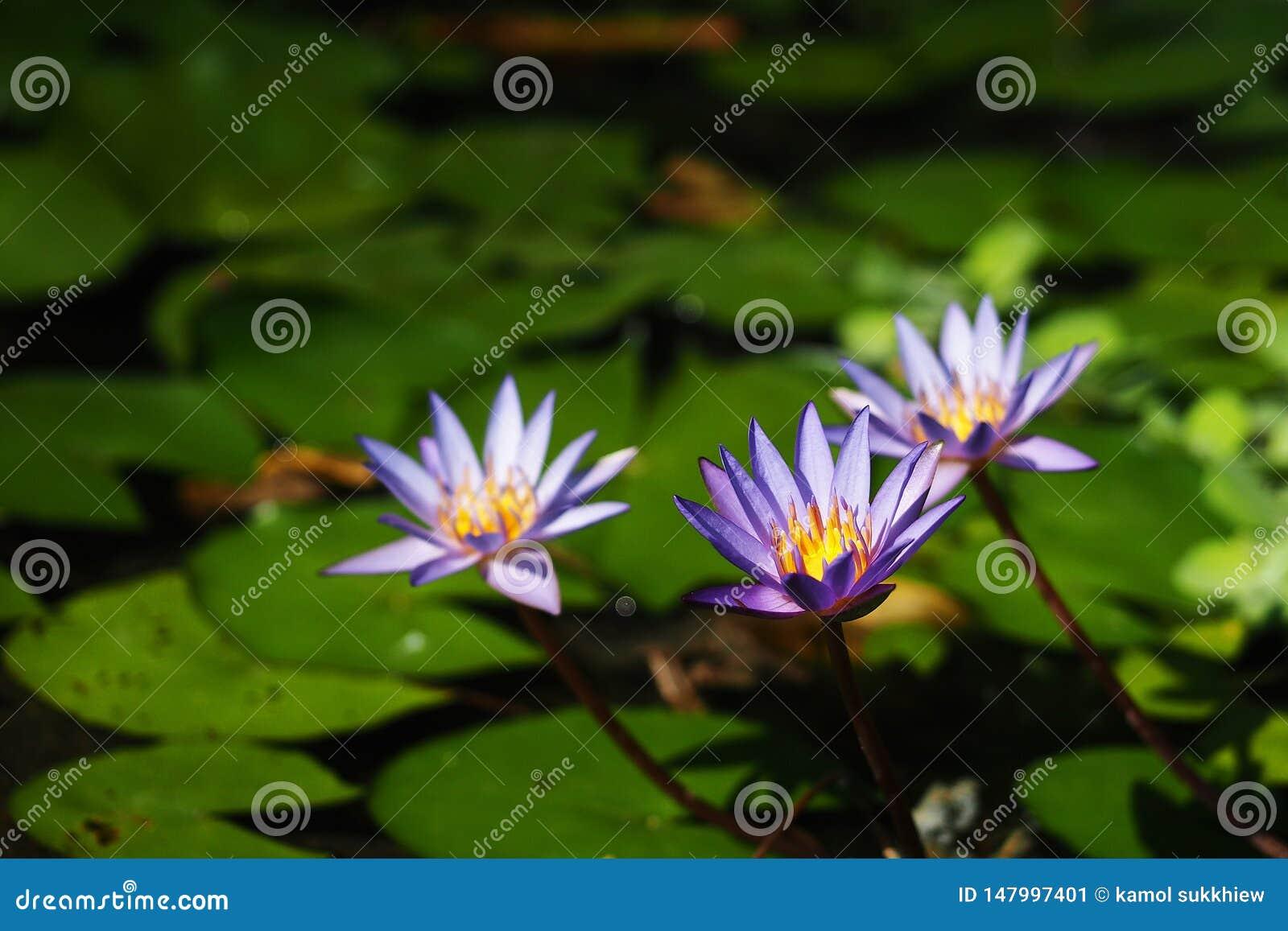 Пурпурная лилия воды 3 зацветая в пруде