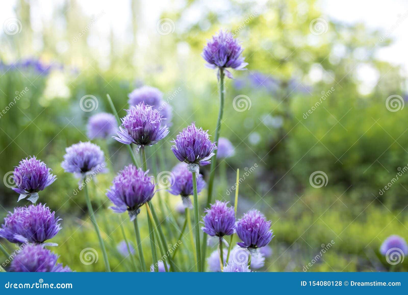 Пурпурное цветение Chives летом