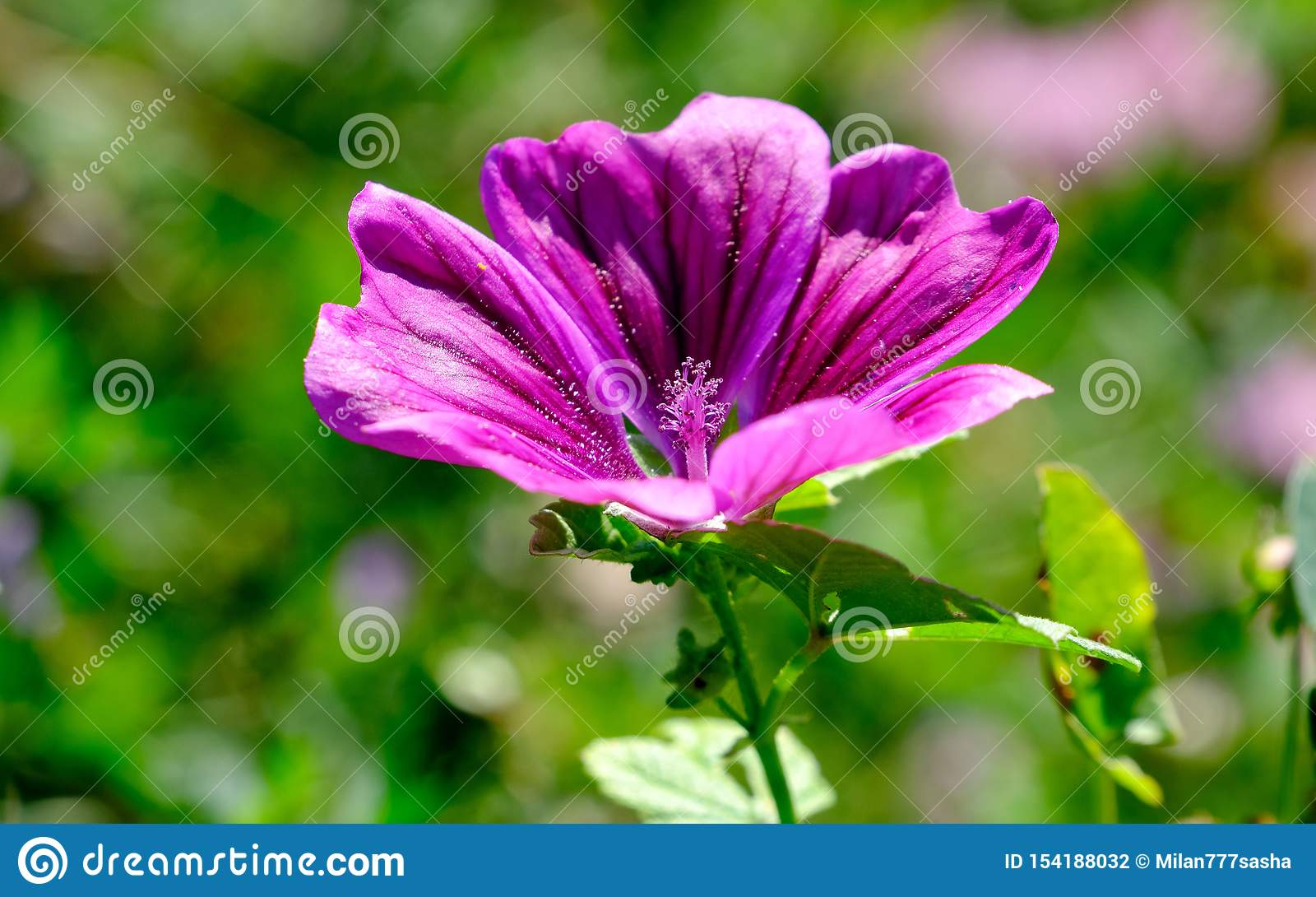 Пурпурные цветения дикого конца просвирника вверх