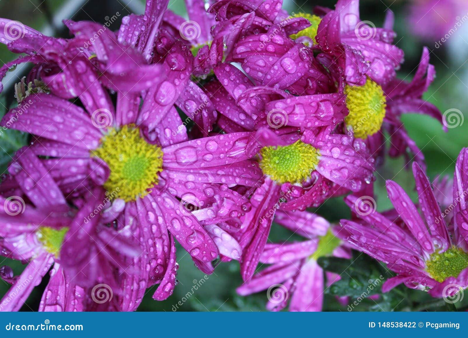 Пурпурные цветки воды