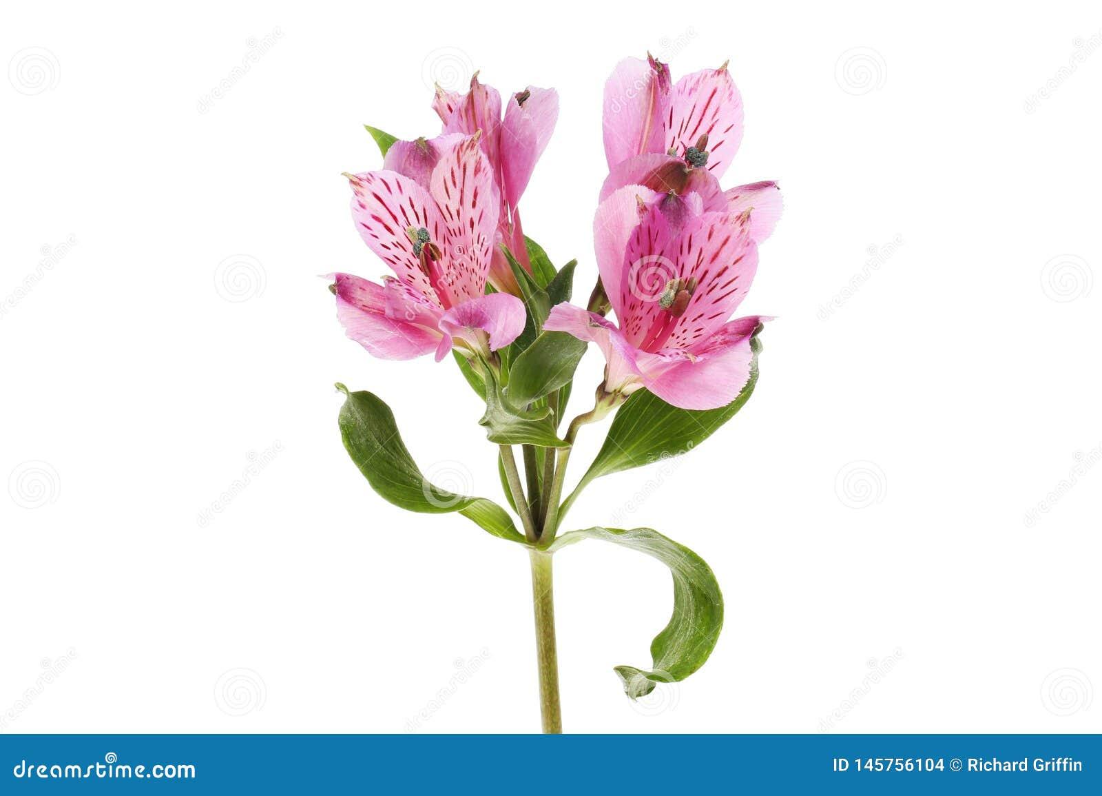 Пурпурные цветки alstroemeria