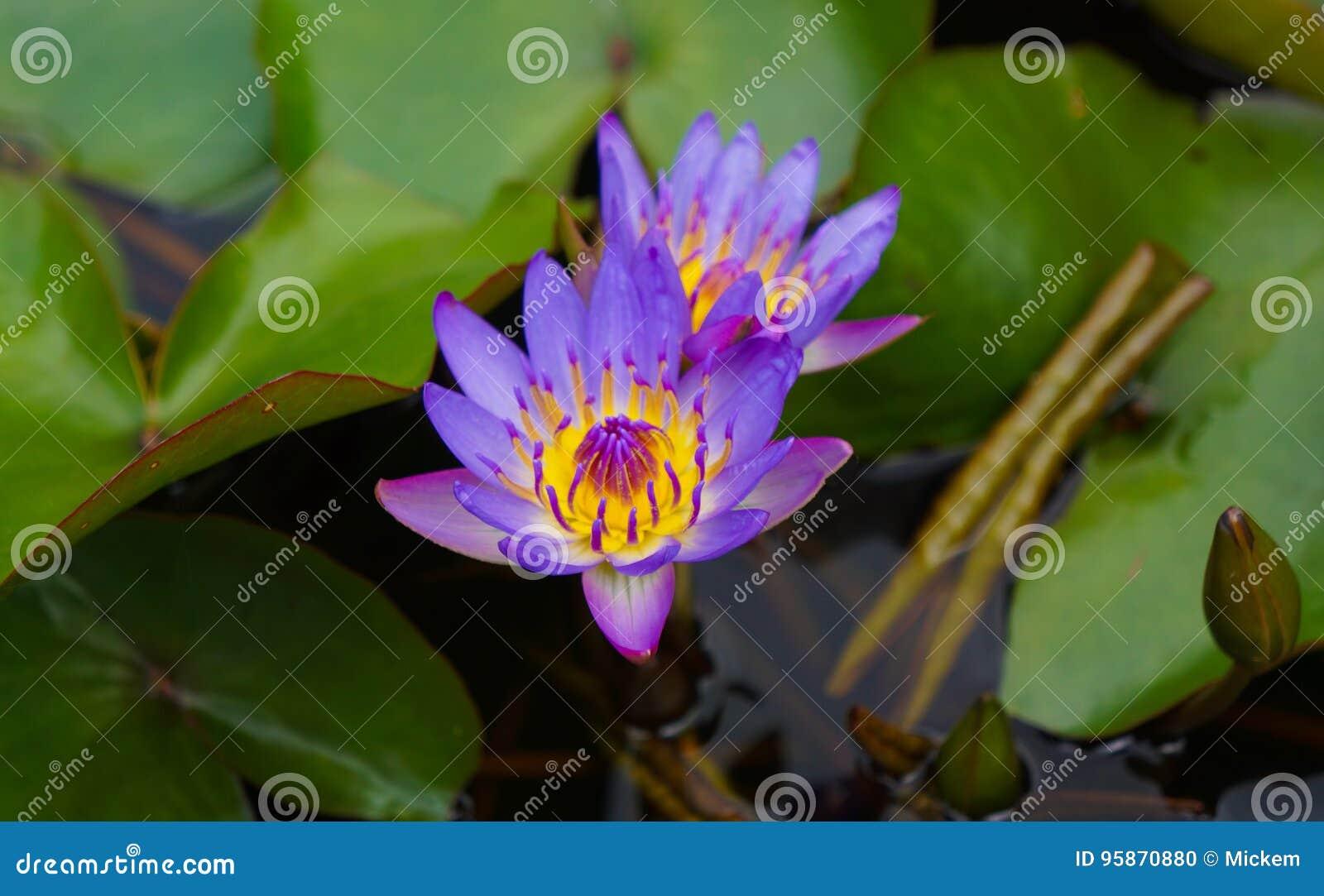 Пурпуровая лилия воды