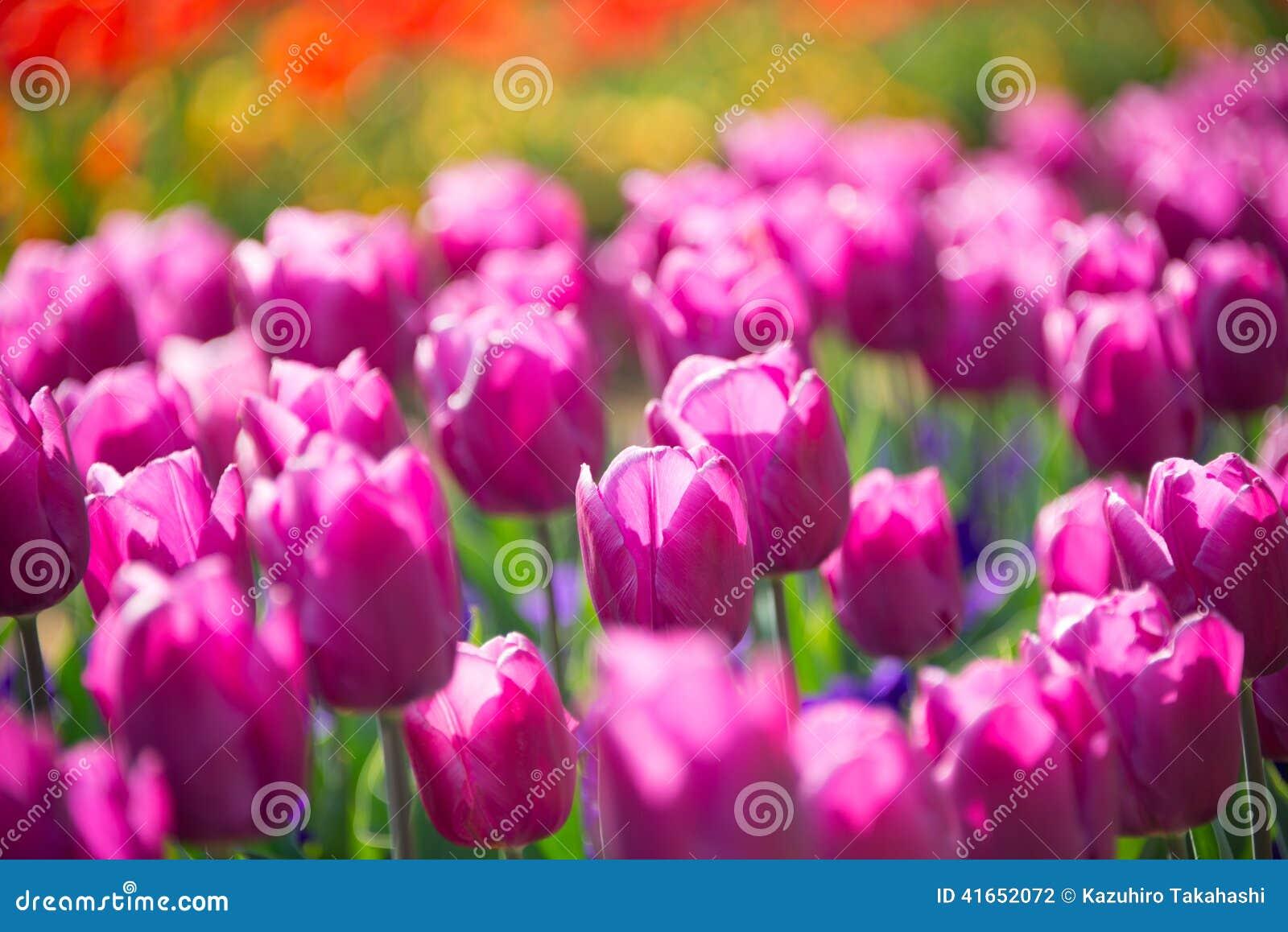 пурпуровые тюльпаны