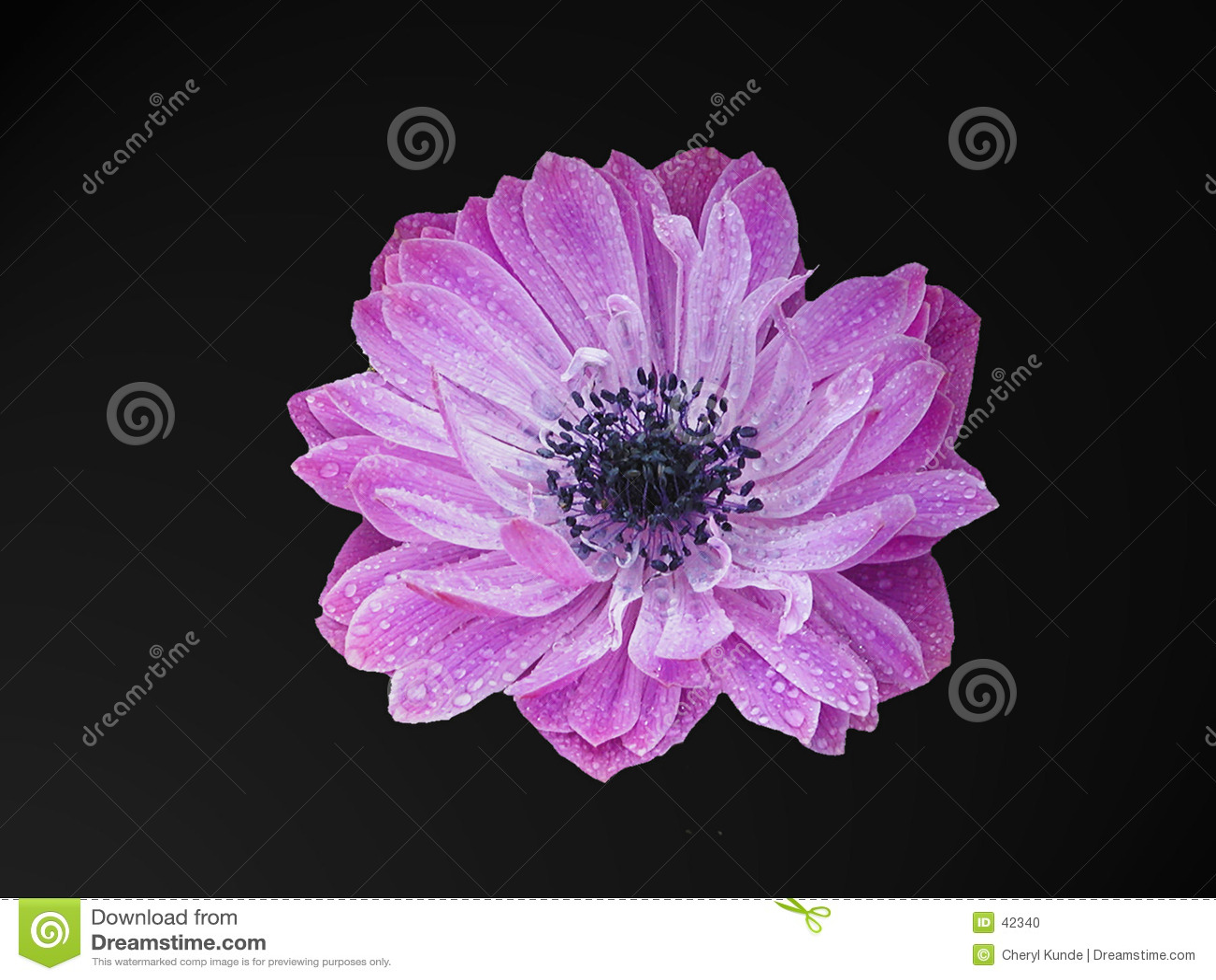 пурпур головки цветка