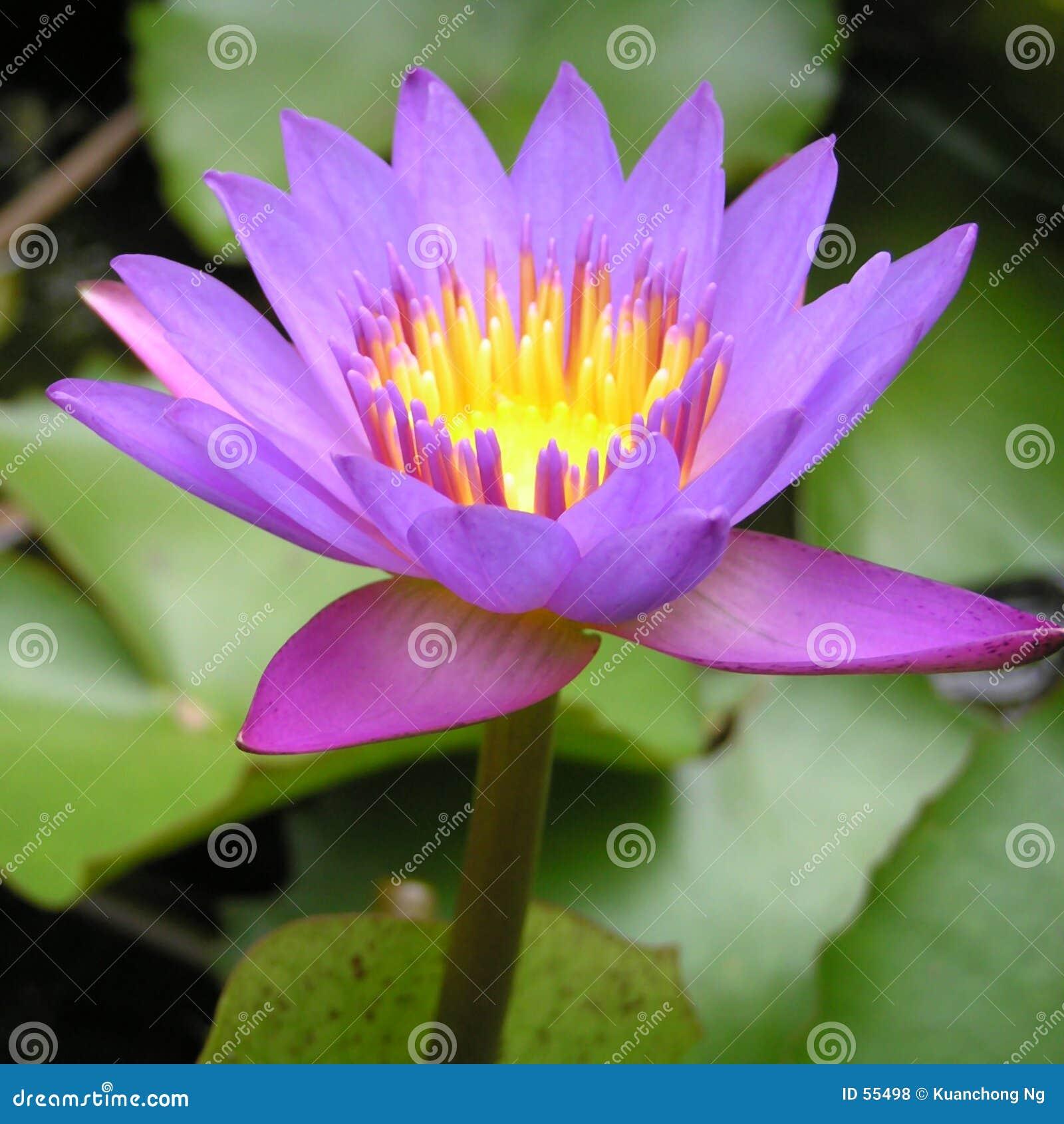 пурпур лилии