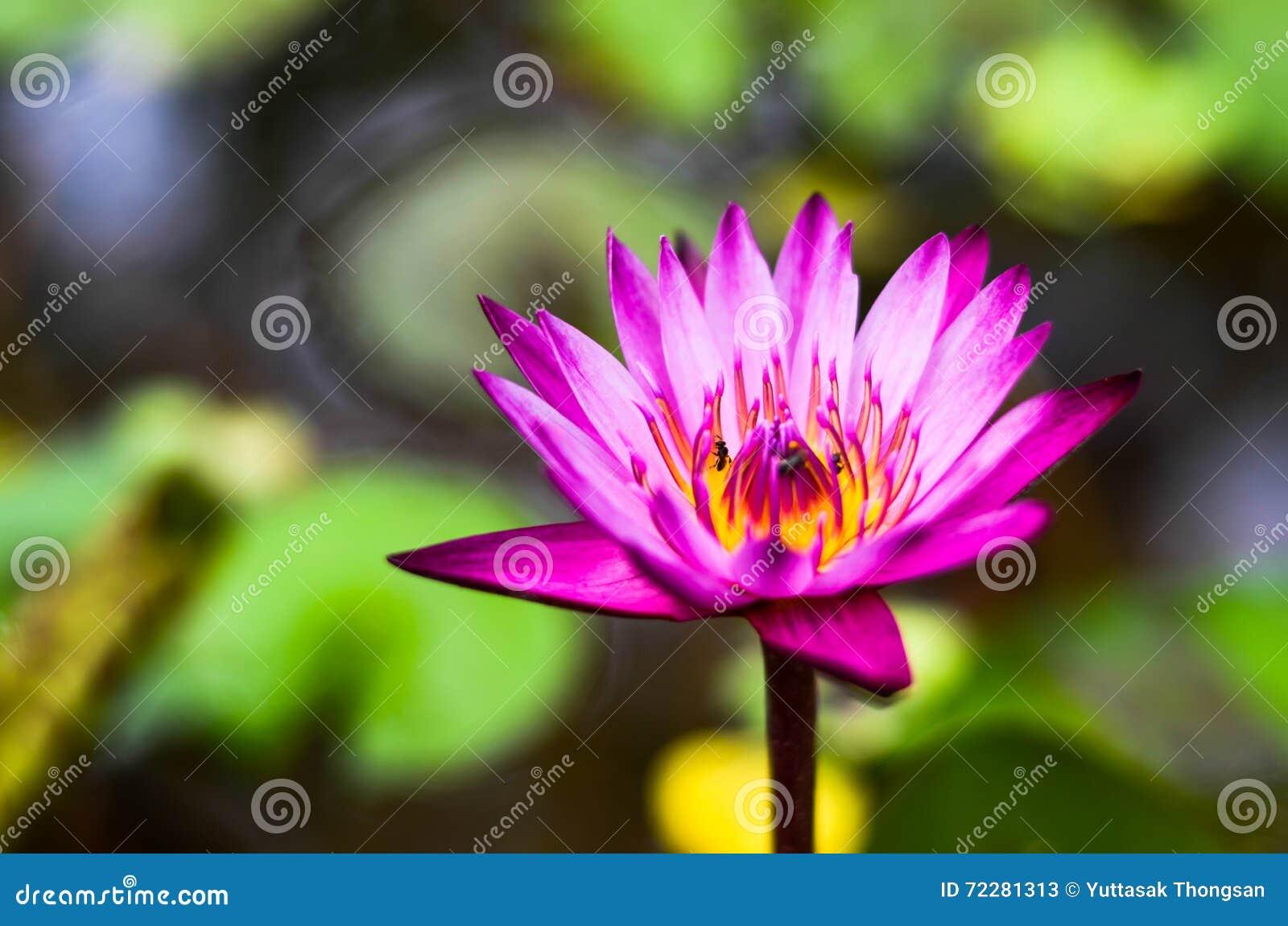 Download Пурпур лотоса стоковое изображение. изображение насчитывающей естественно - 72281313