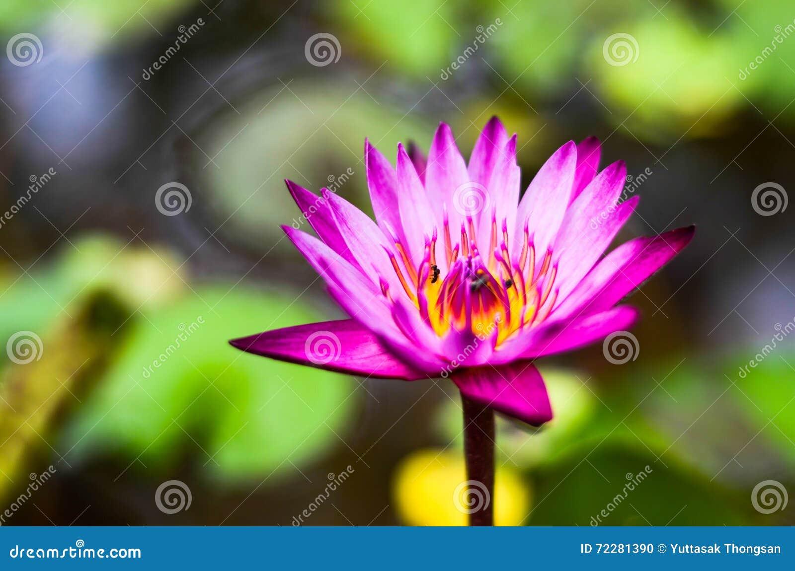 Download Пурпур лотоса стоковое фото. изображение насчитывающей озеро - 72281390