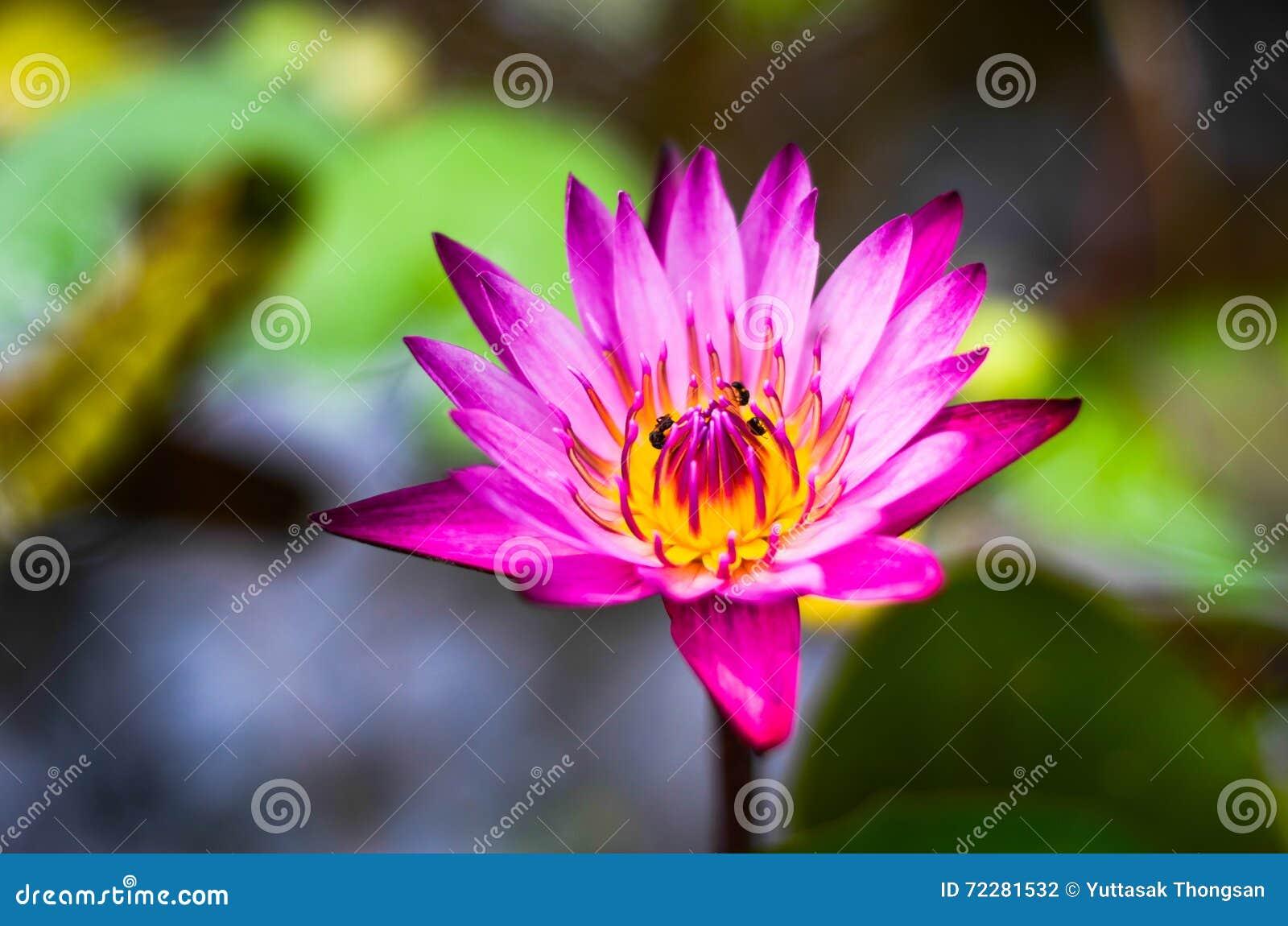 Download Пурпур лотоса стоковое фото. изображение насчитывающей лилия - 72281532