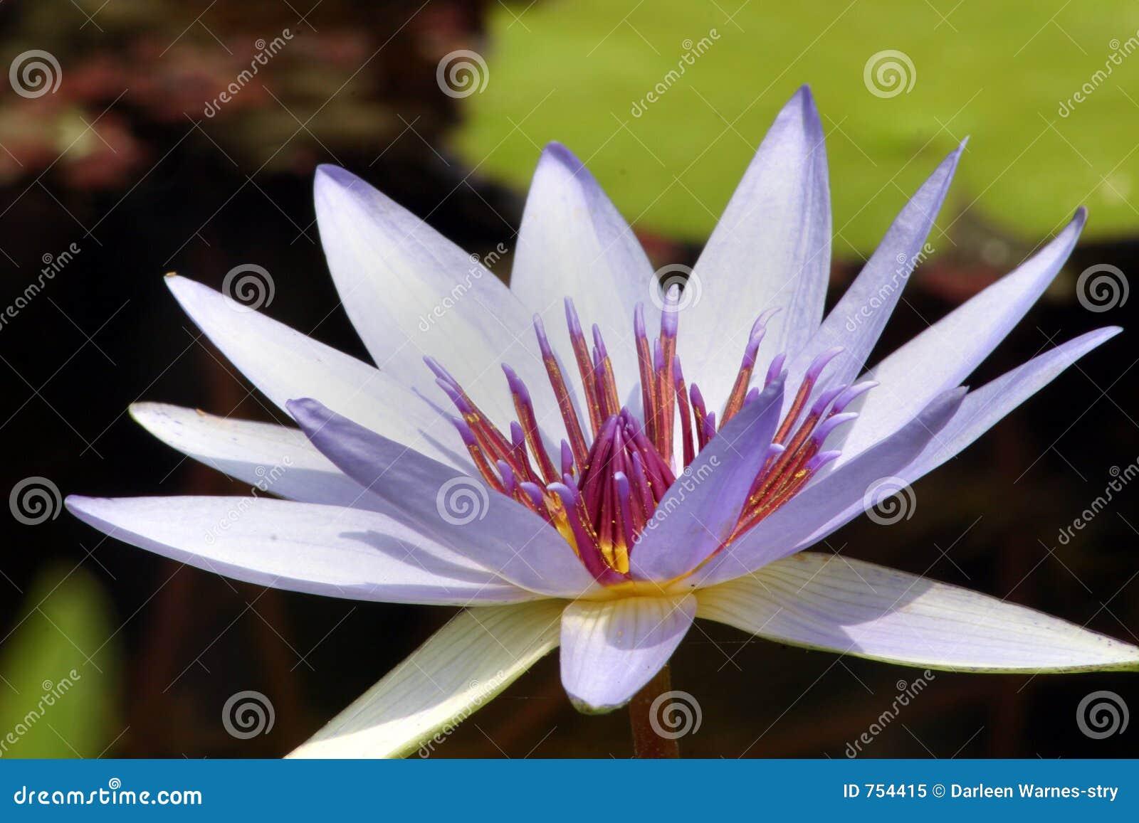 пурпур waterlily