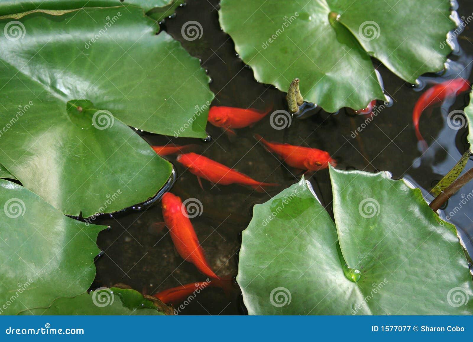 пусковые площадки лилии рыб