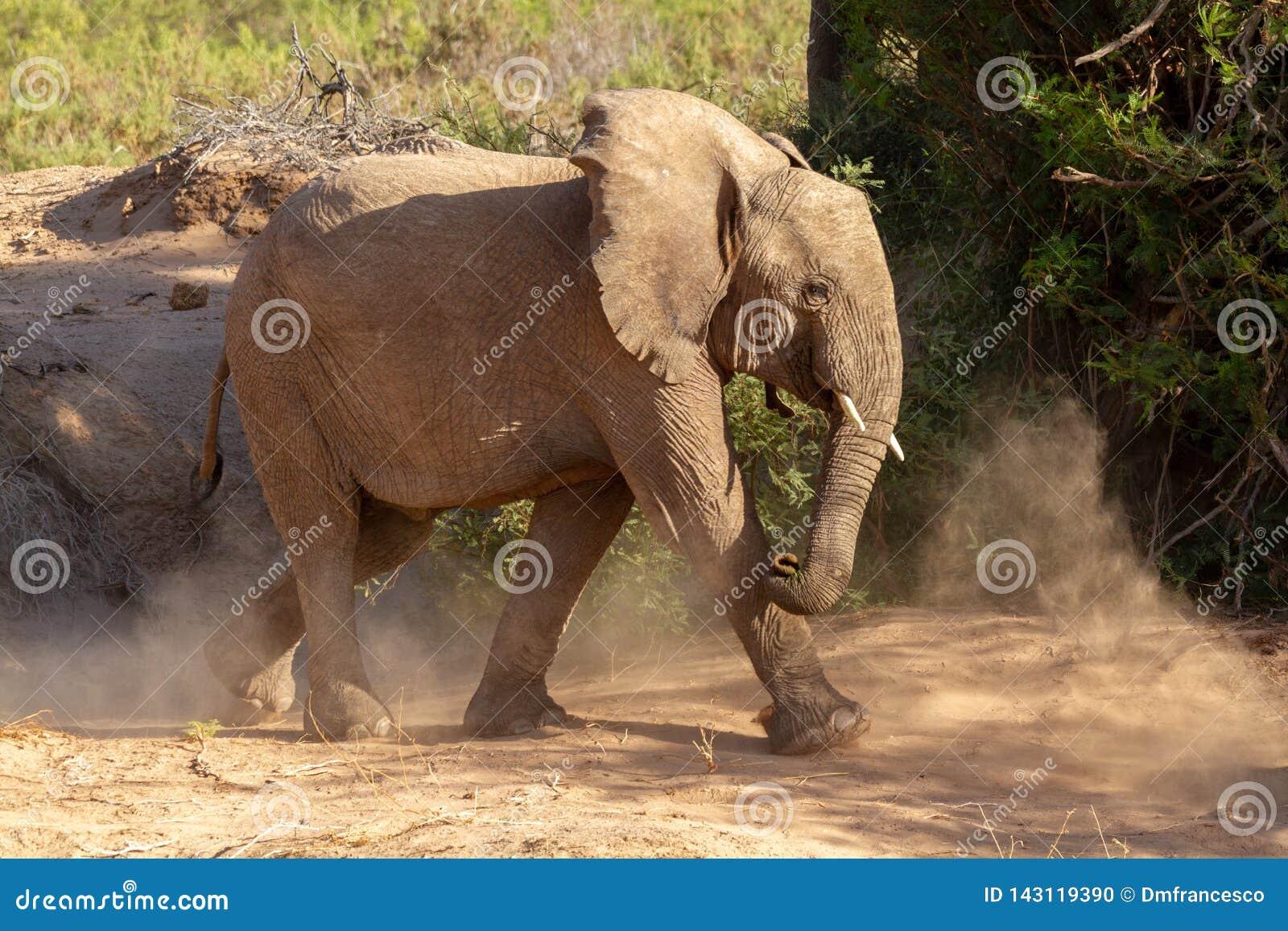 Пустыни и природа слона пустыни в национальных парках