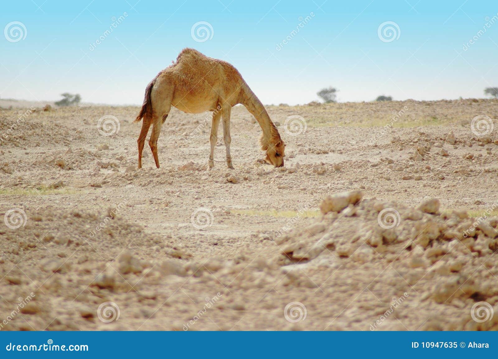 пустыня верблюда