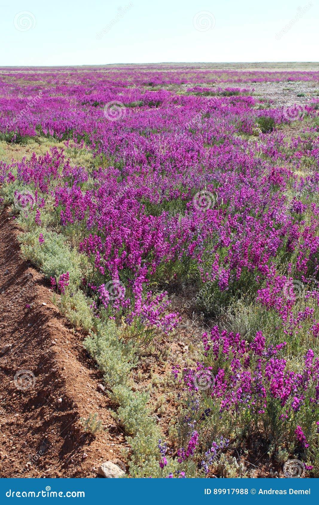 Пустыня ` s Австралии зацветая в августе