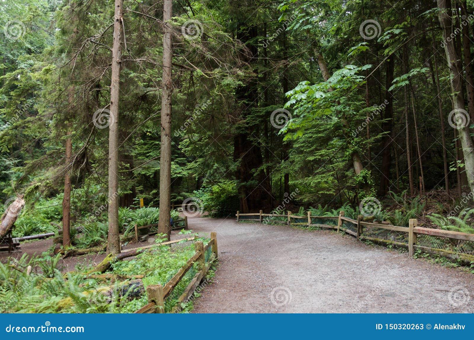 Путь гравия с деревянным обнесет забором плотный вечнозеленый coniferous лес