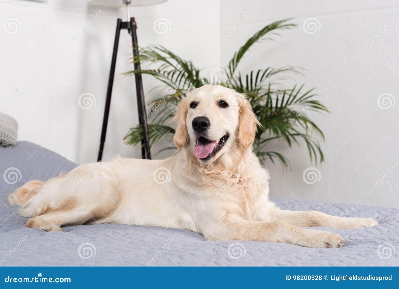 Download Пушистая собака золотого Retriever лежа на кровати Стоковое Фото - изображение насчитывающей любимчик, собака: 98200328